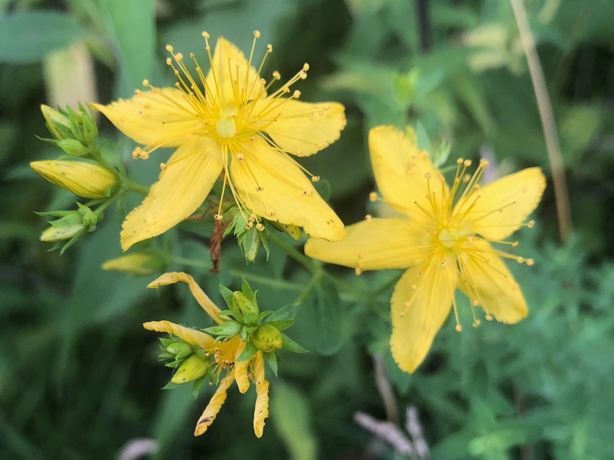 St. John's Wort on bank of Marion Dunn Pond on June 28, 2020.