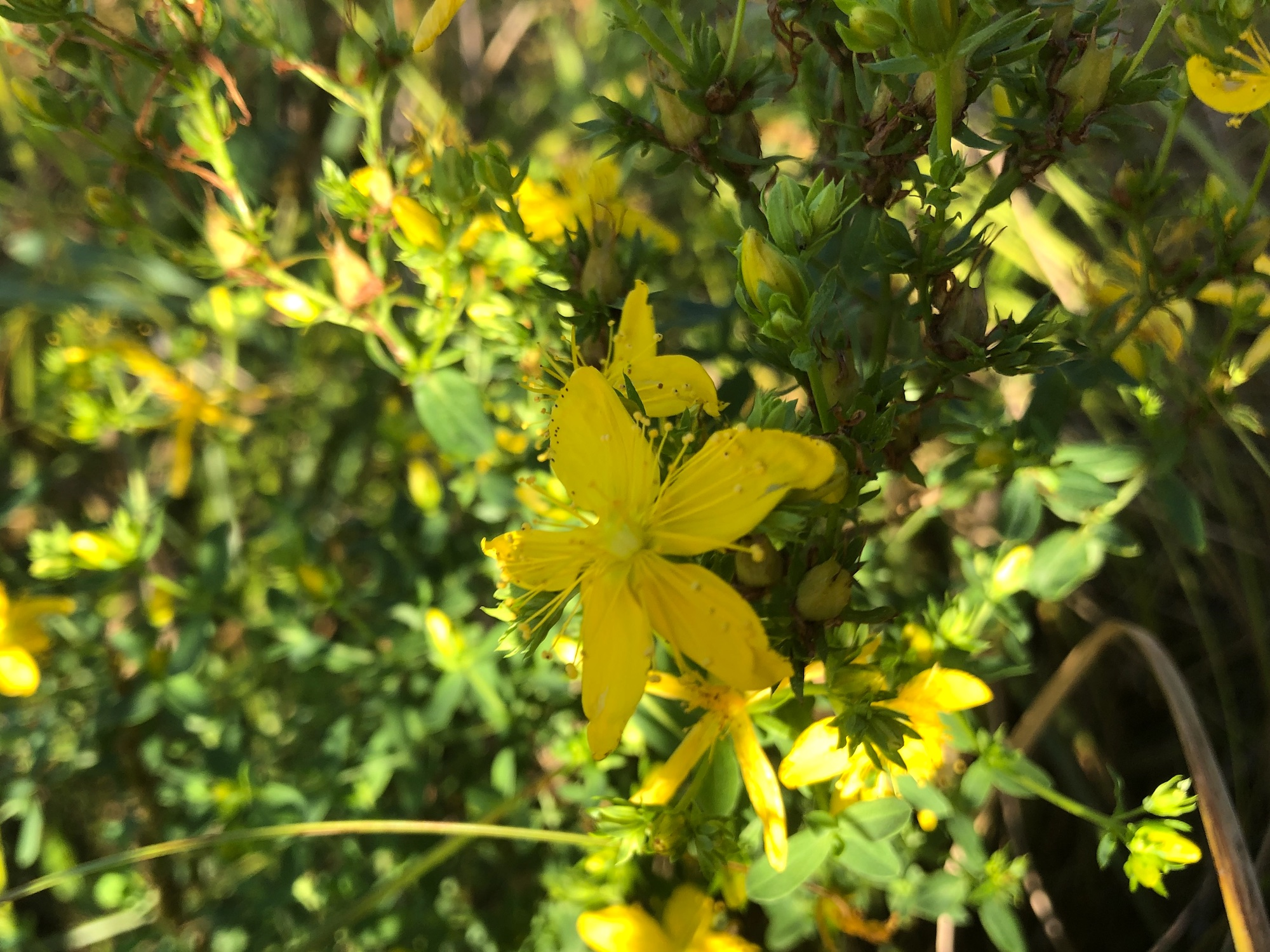 t. John's Wort on bank of Lake Wingra in Wingra Park on July 30, 2019.