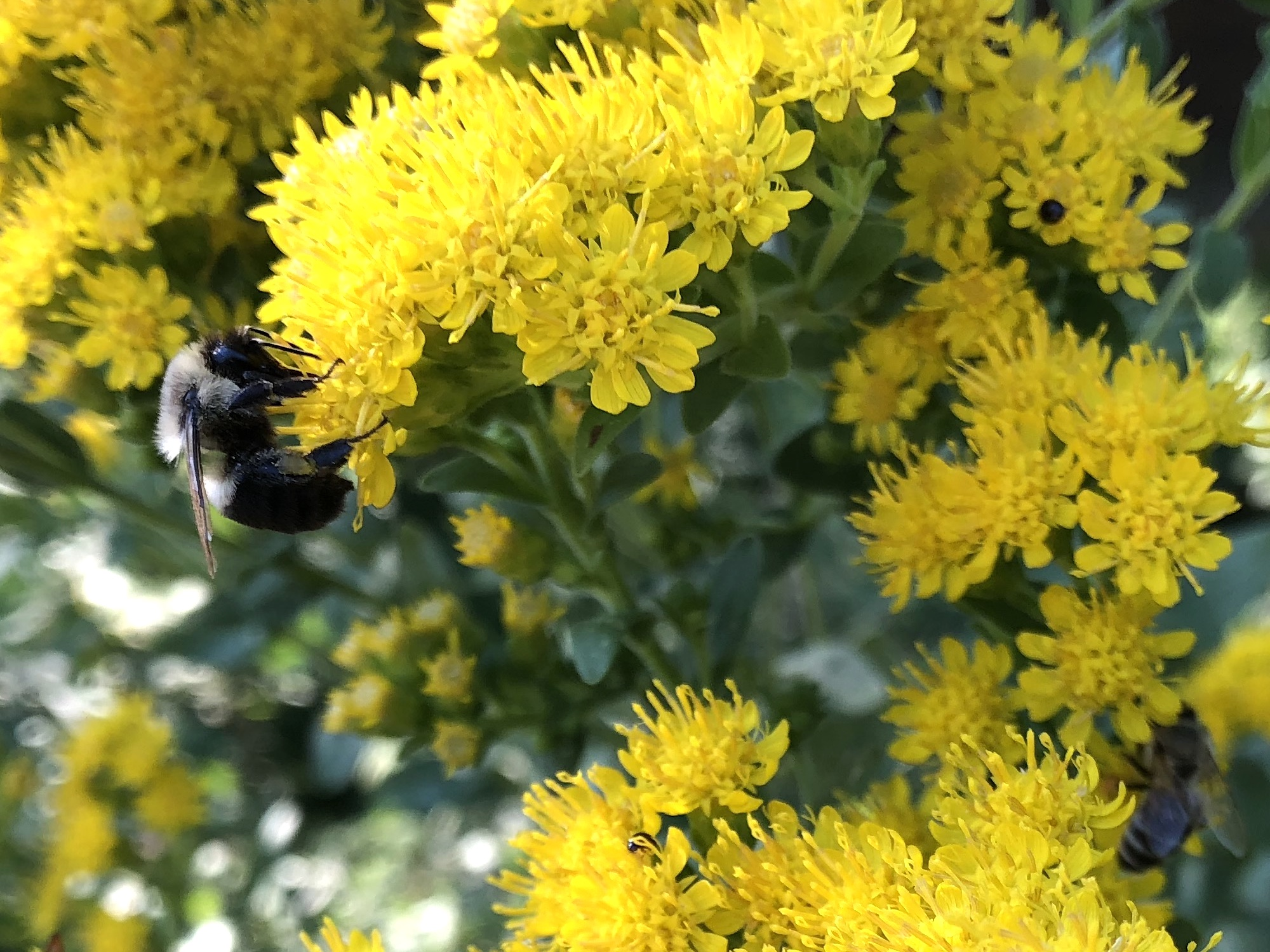 Bumblebee on Stiff Goldenrod on September 13, 2018.