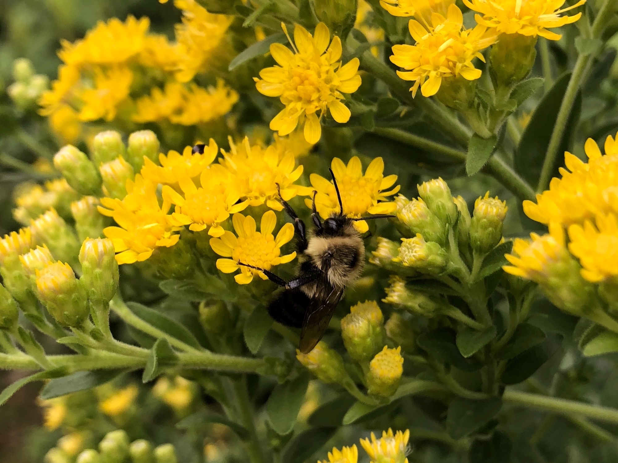 Bumblebee on Stiff Goldenrod on September 9, 2018.