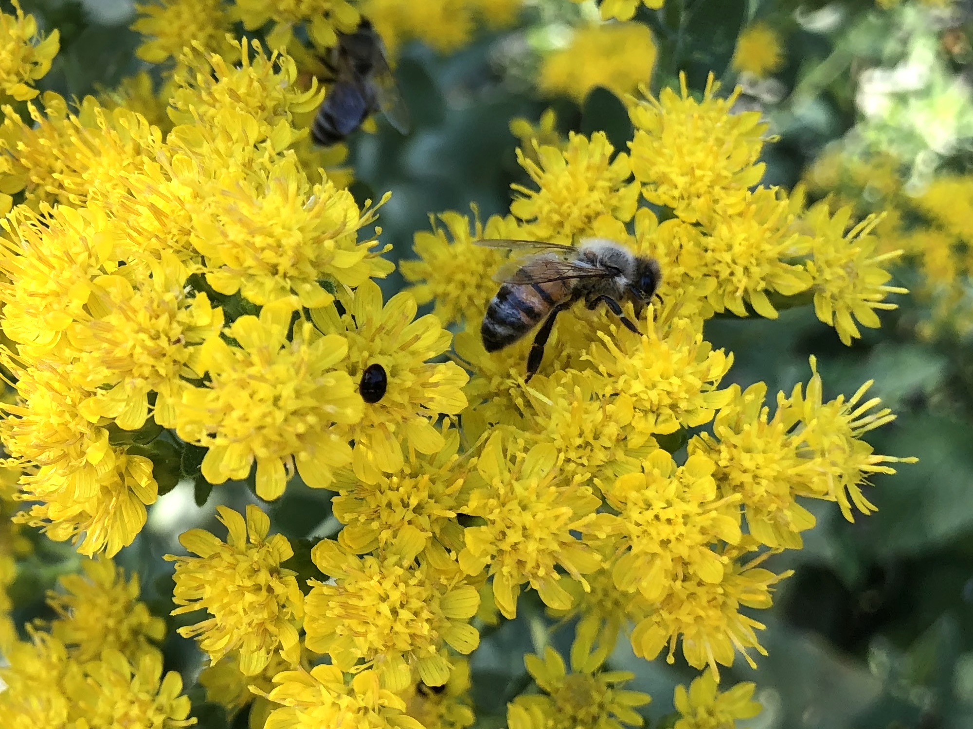 Honey bee on Stiff Goldenrod on September 13, 2018.