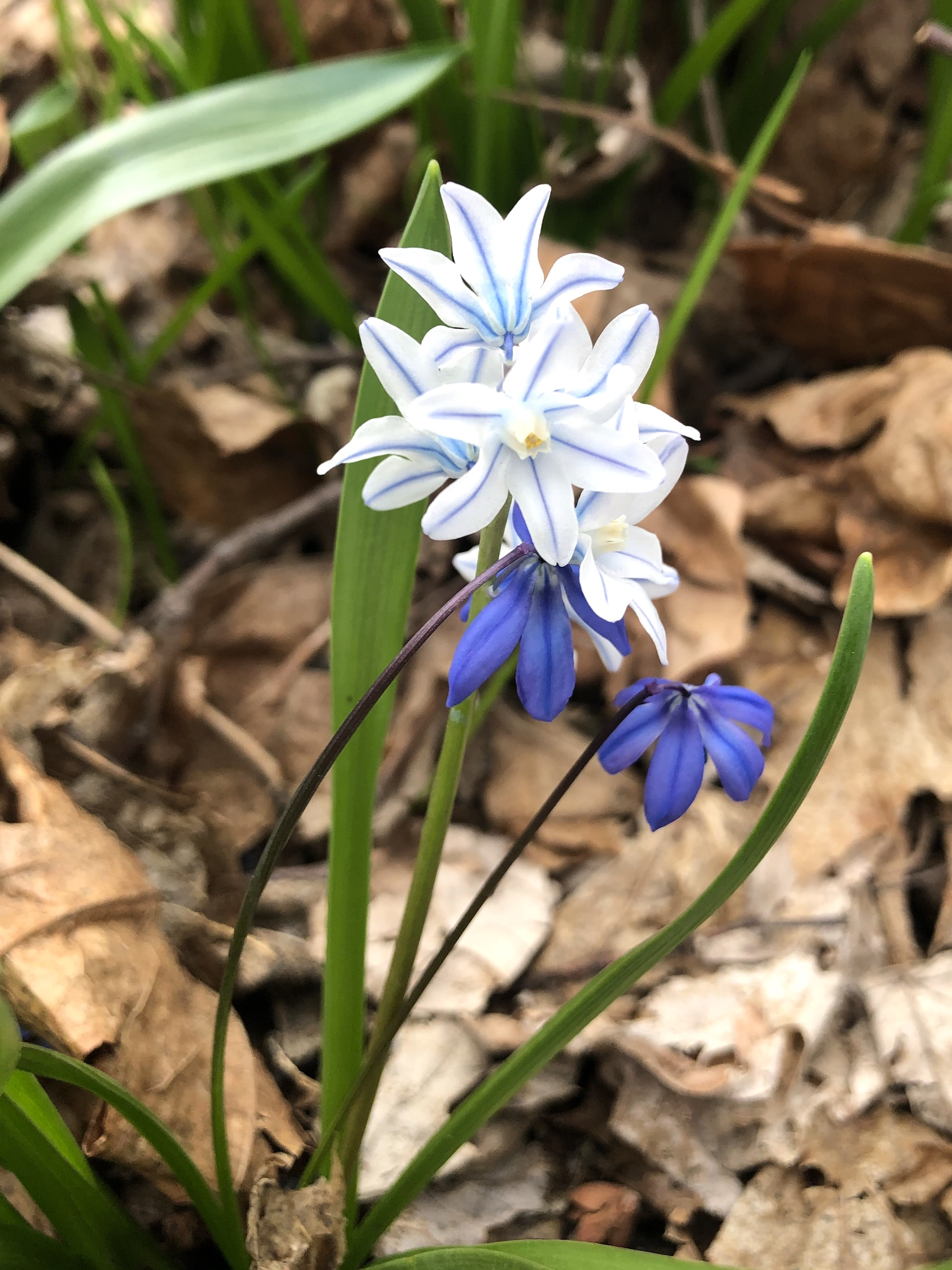 Striped Squill in woods near the Sycamore tree on Arbor Drive in Madison, Wisconsin on April 6, 2021.