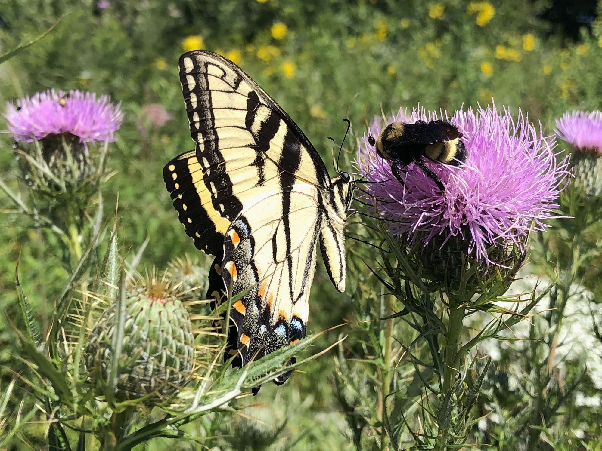 Bumblebee and Tiger Swallowtail Butterfly on Thistle on August 16, 2020.