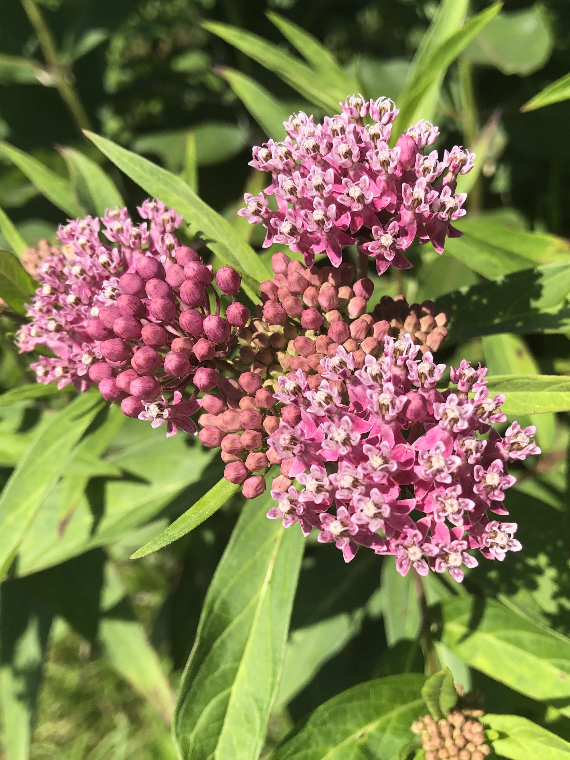 Swamp Milkweed on shore of Lake Wingra in Wingra Park on July 4, 2020.