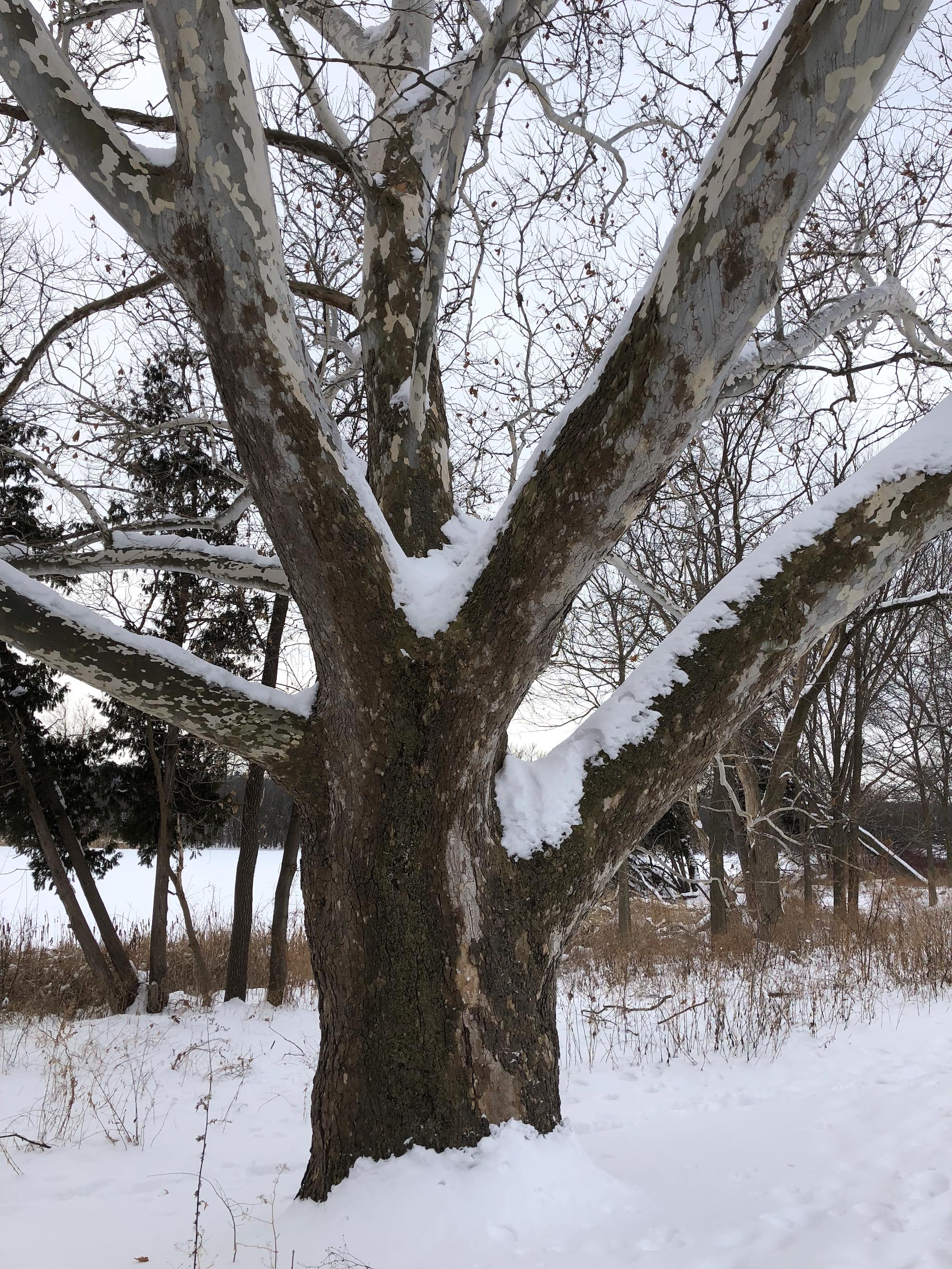 Sycamore tree between Ho-Nee-Um Pond and Arbor Drive on north shore of Lake Wingra on February 10, 2018.