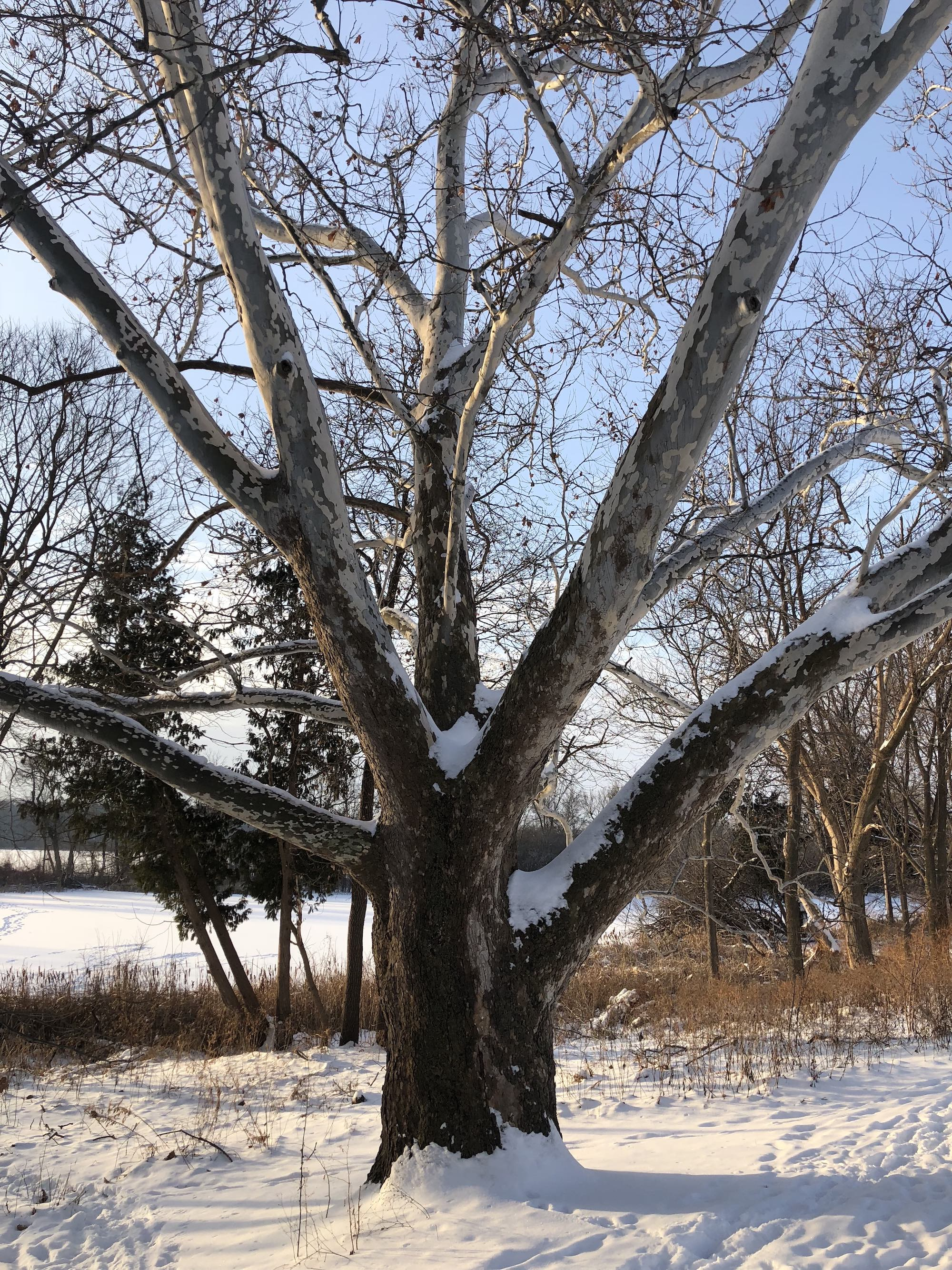Sycamore tree between Ho-Nee-Um Pond and Arbor Drive on north shore of Lake Wingra on February 8, 2018.