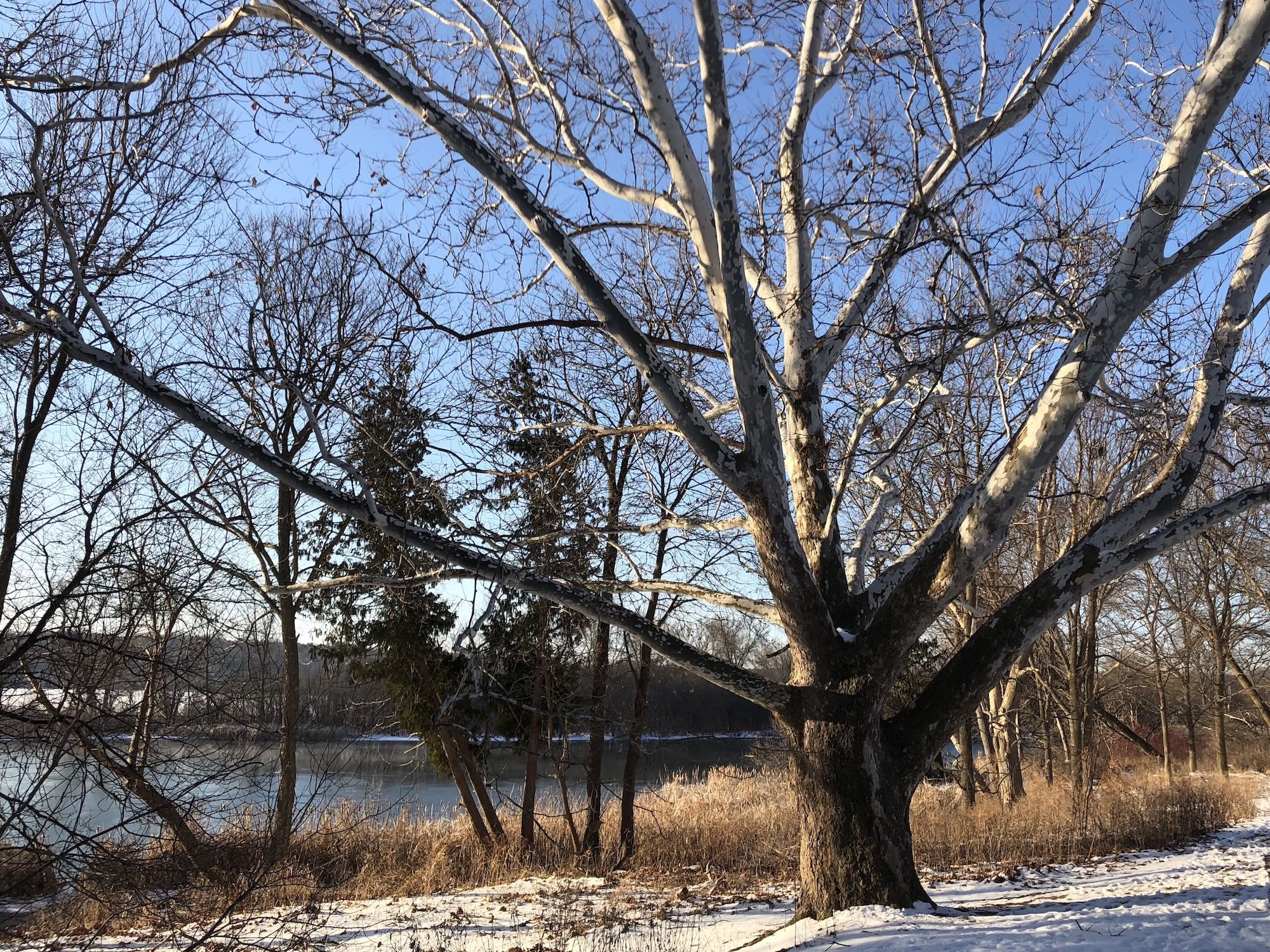 Sycamore tree between Ho-Nee-Um Pond and Arbor Drive on north shore of Lake Wingra on March 10, 2018.