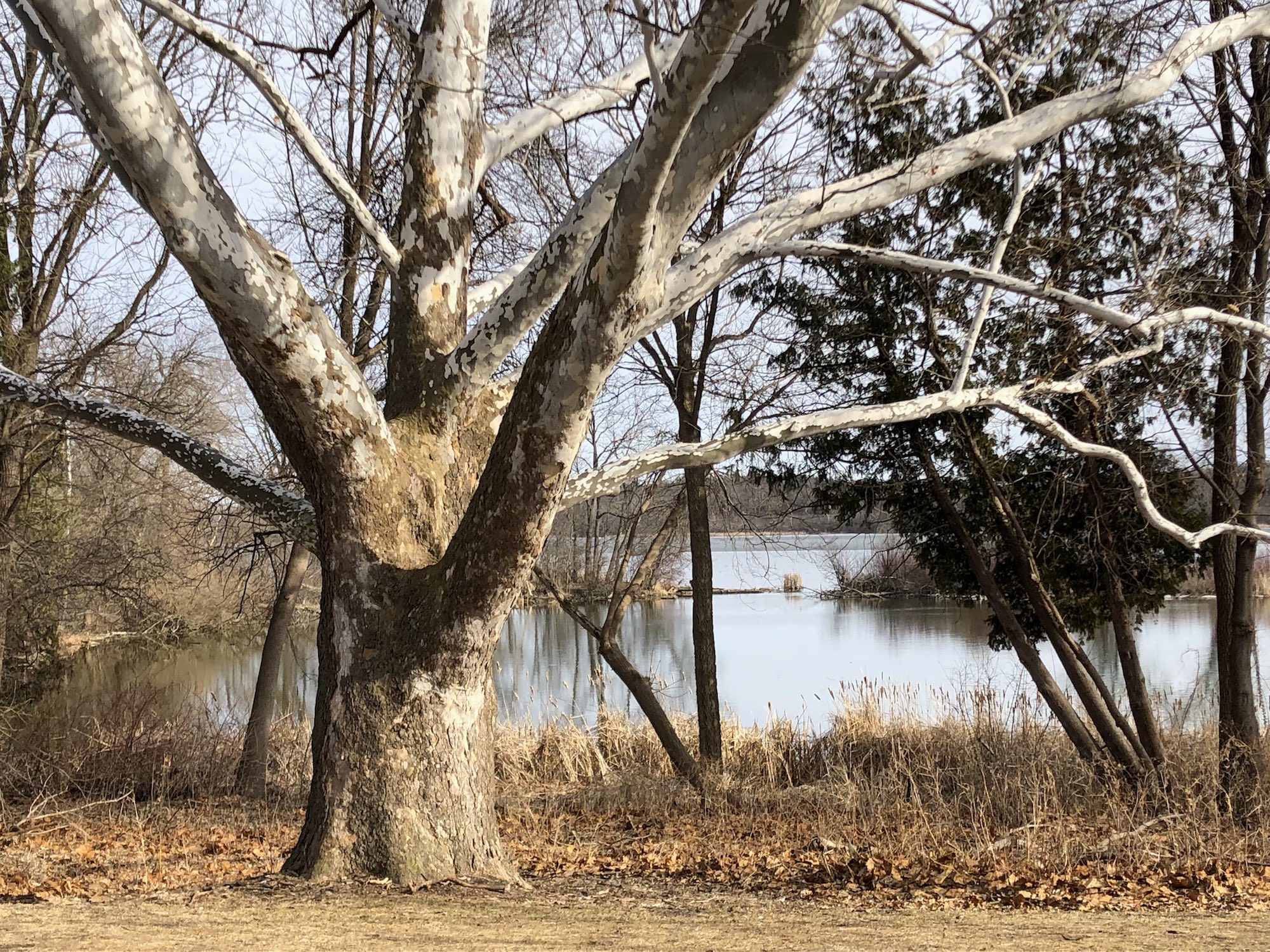 Sycamore tree between Ho-Nee-Um Pond and Arbor Drive on north shore of Lake Wingra on March 20, 2018.