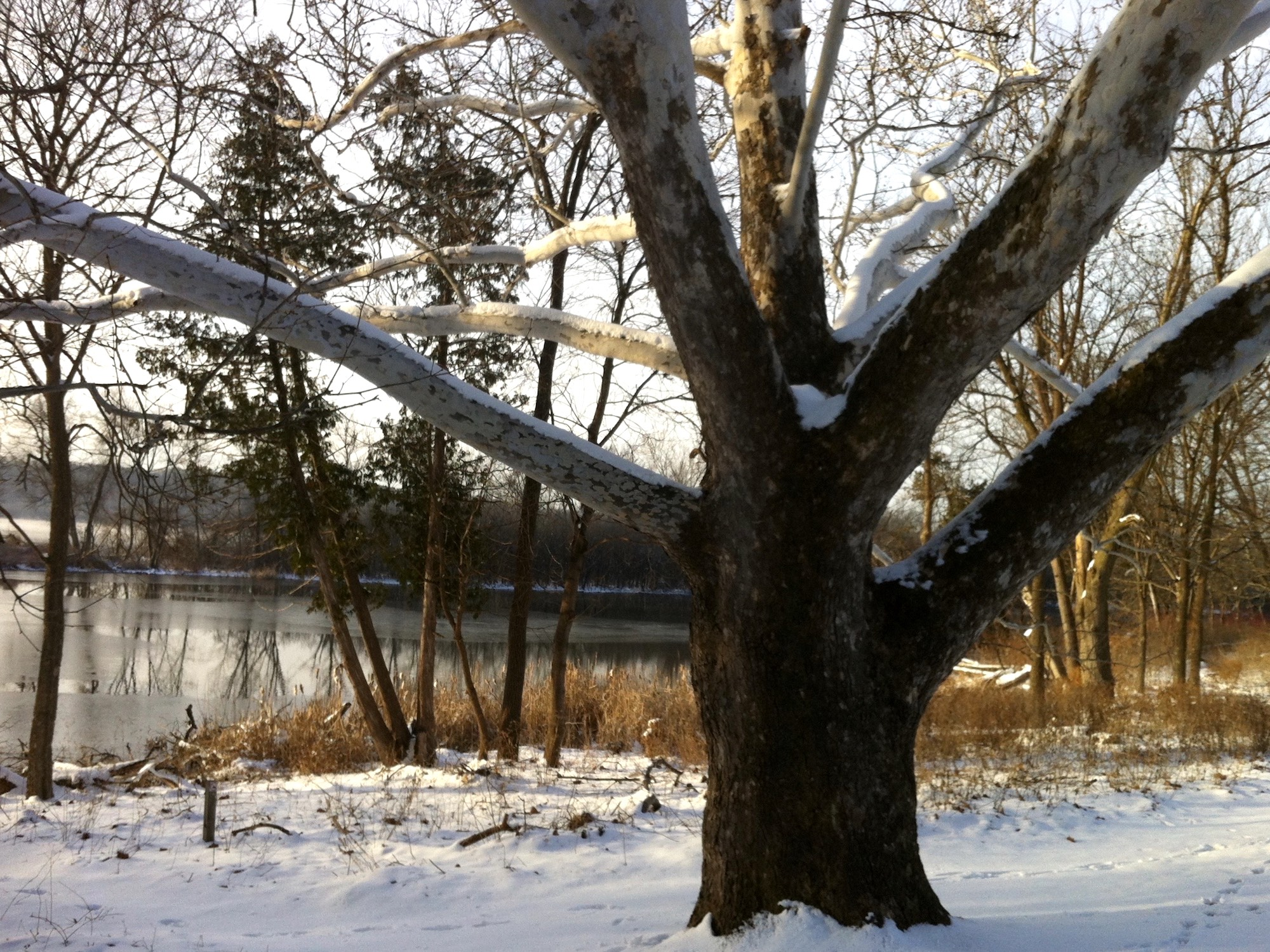 Sycamore tree between Ho-Nee-Um Pond and Arbor Drive on north shore of Lake Wingra on March 24, 2015.