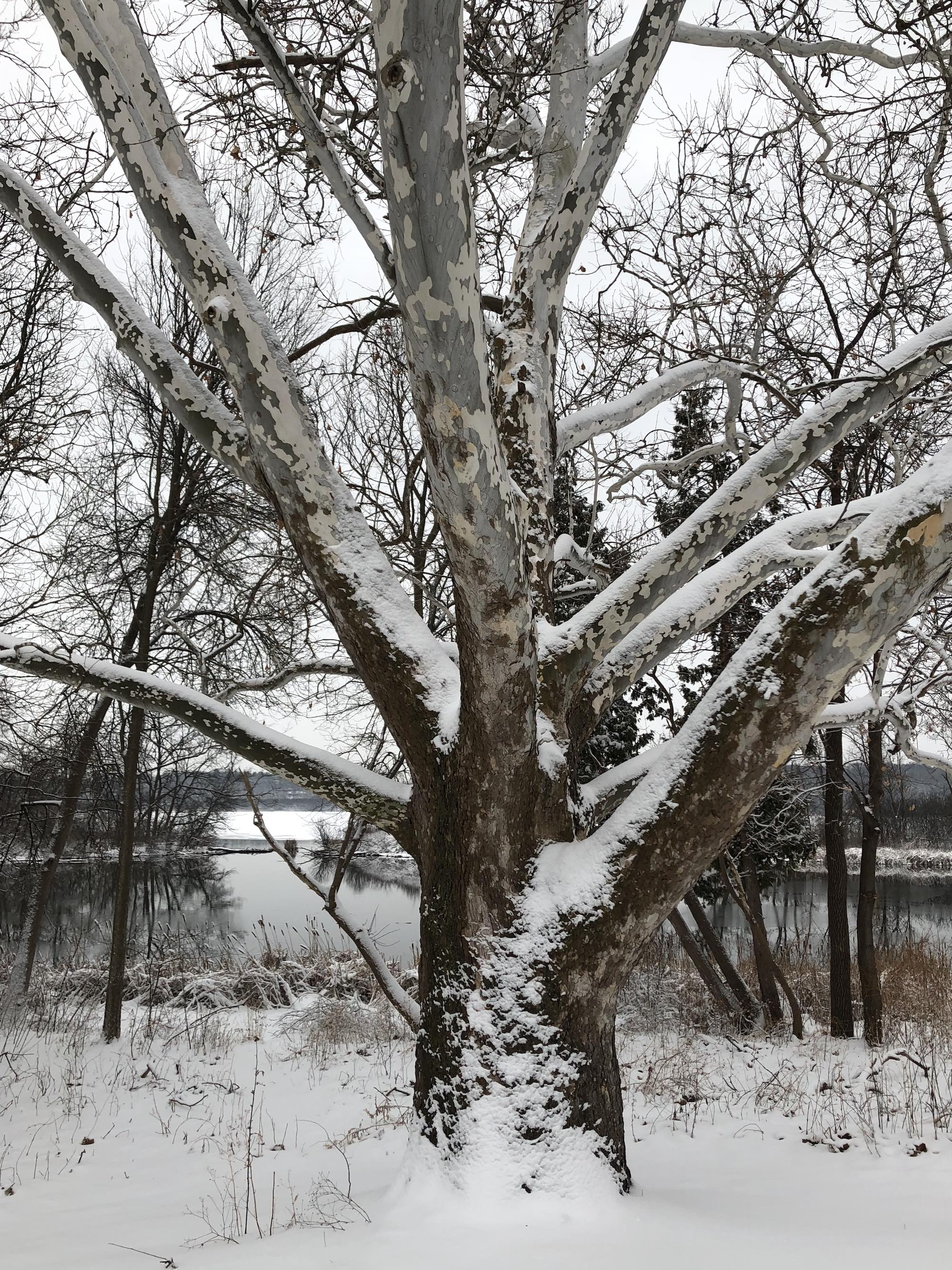 Sycamore tree between Ho-Nee-Um Pond and Arbor Drive on north shore of Lake Wingra on March 6, 2018.