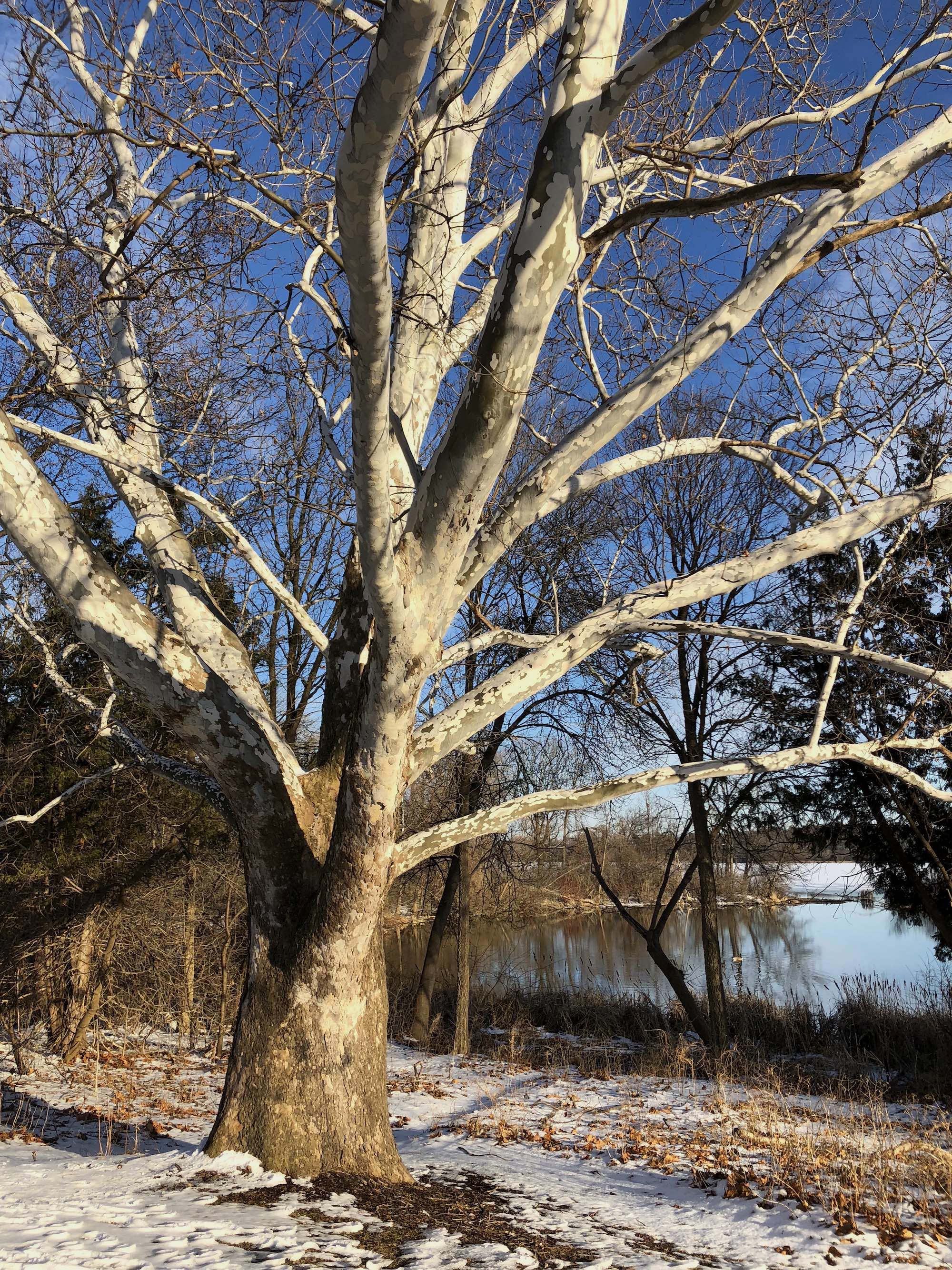 Sycamore tree between Ho-Nee-Um Pond and Arbor Drive on north shore of Lake Wingra on March 9, 2018.