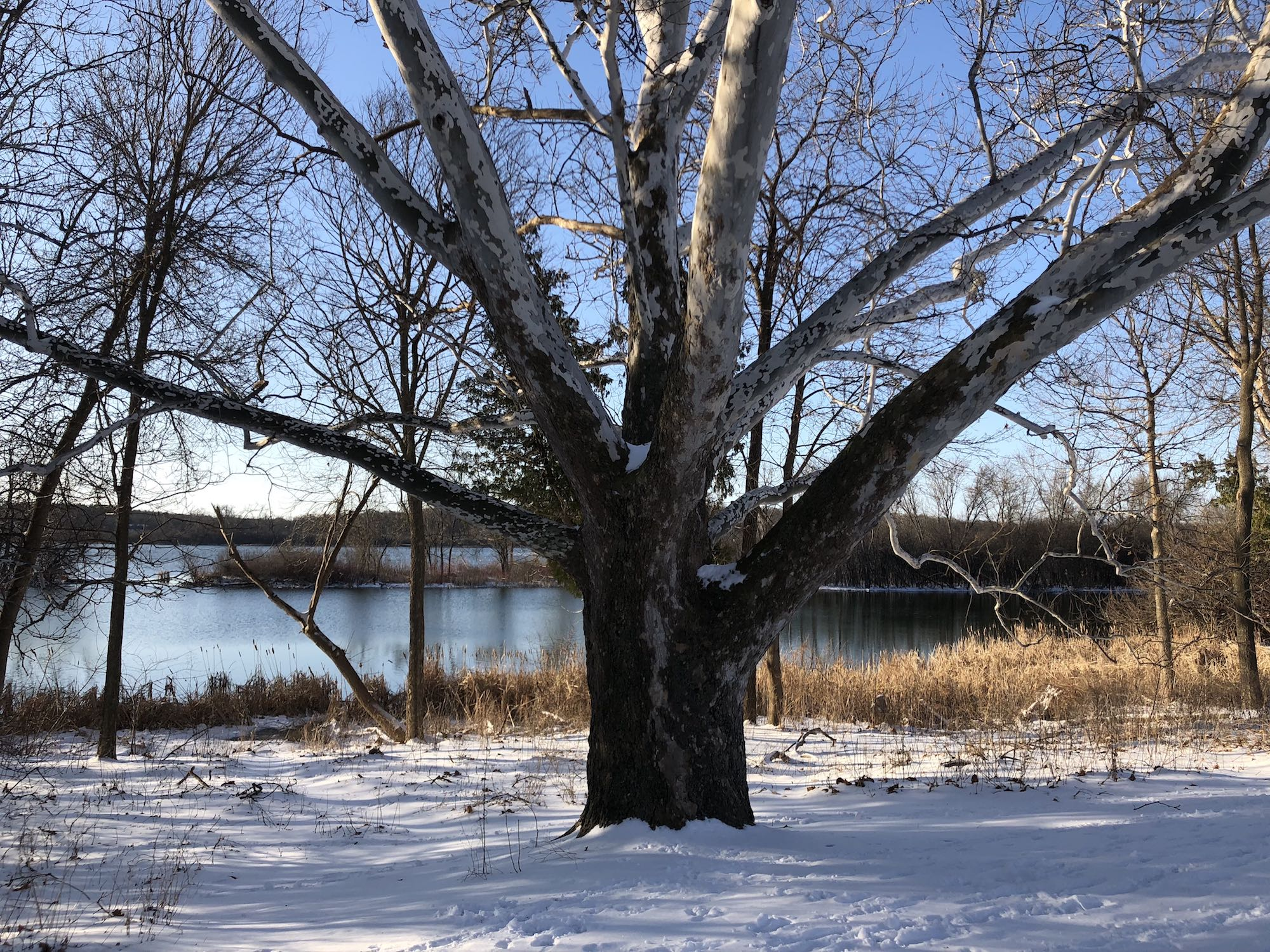 Sycamore tree between Ho-Nee-Um Pond and Arbor Drive on north shore of Lake Wingra on April 17, 2018.