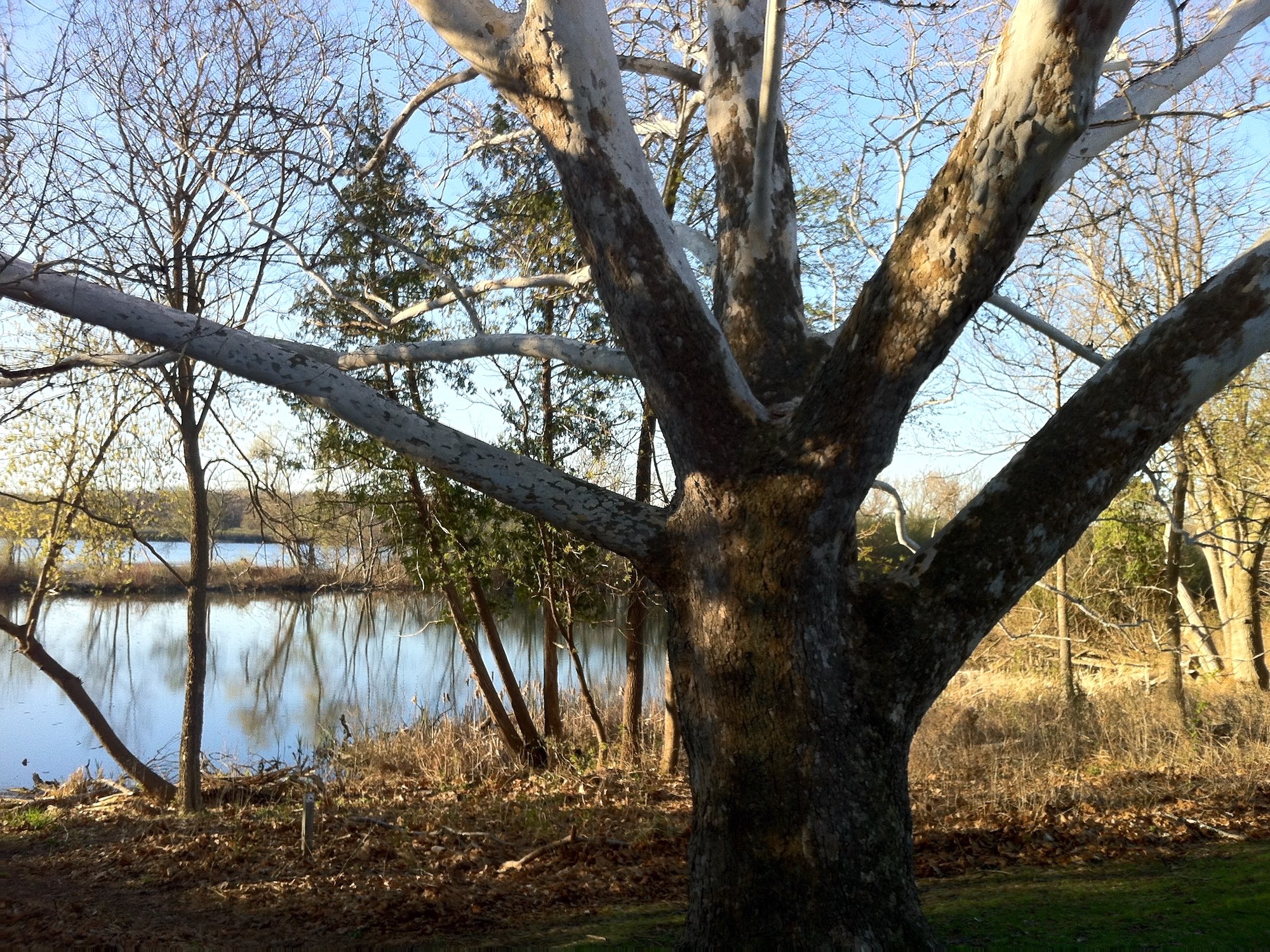 Sycamore tree between Ho-Nee-Um Pond and Arbor Drive on north shore of Lake Wingra on April 24, 2015.