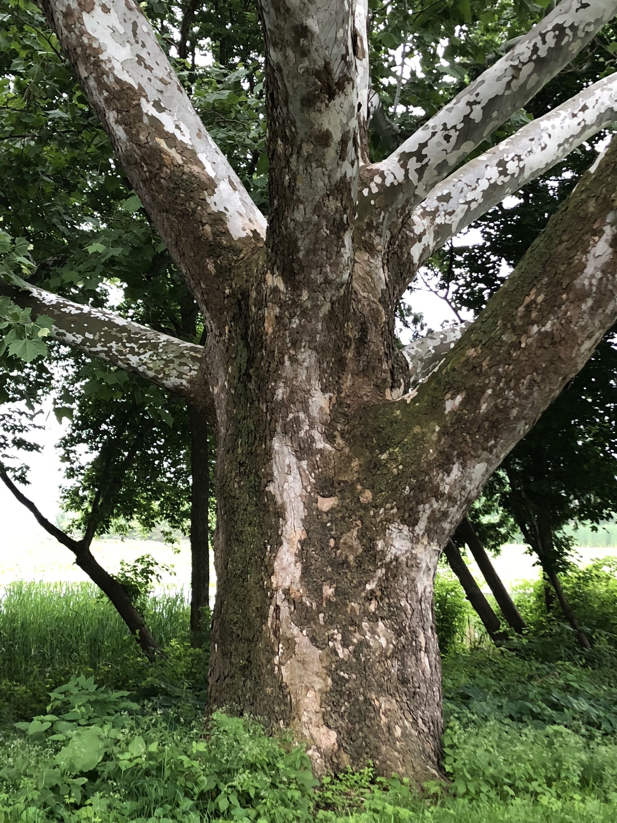 Sycamore tree between Ho-Nee-Um Pond and Arbor Drive on north shore of Lake Wingra on June 6, 2018.