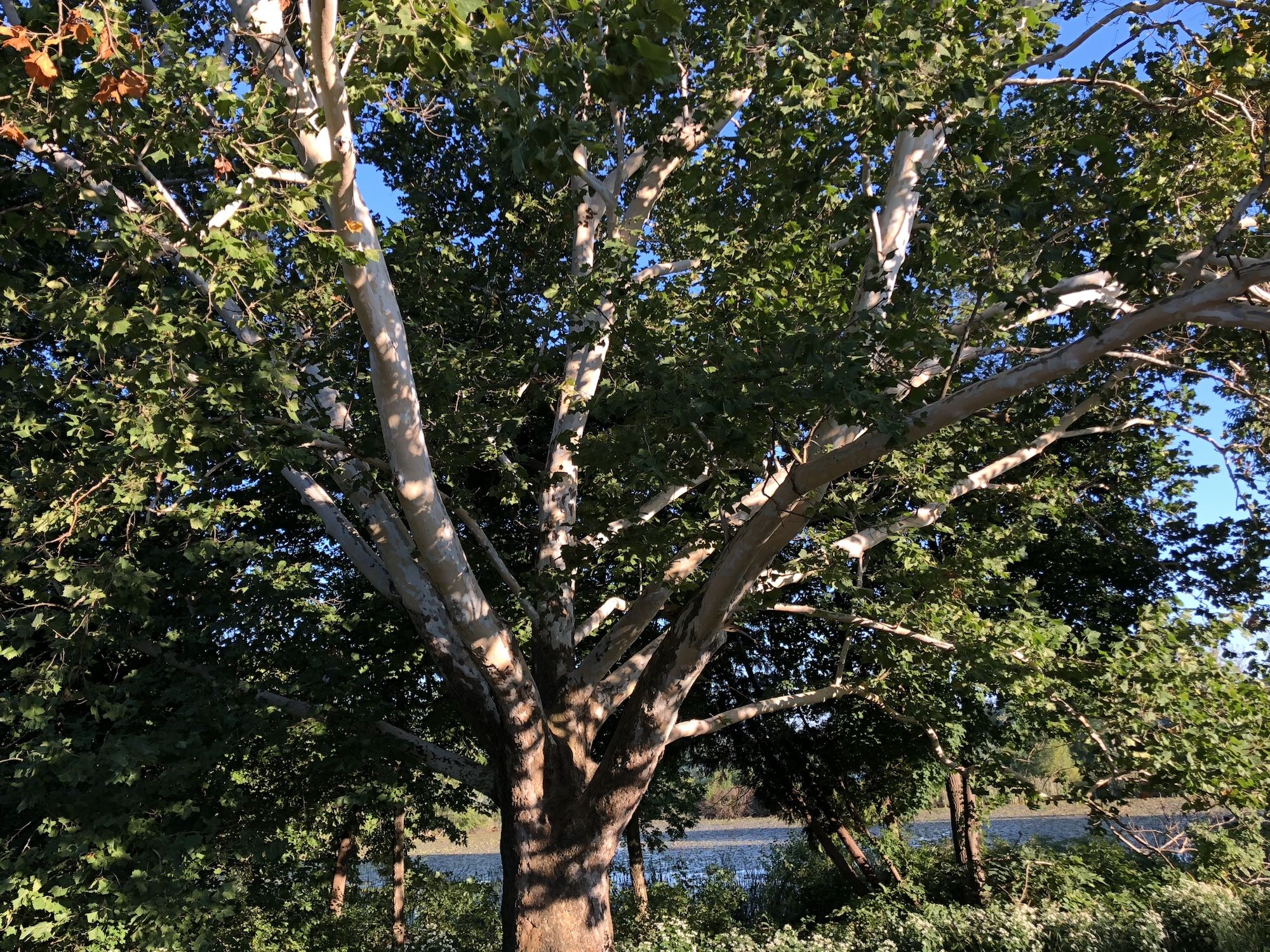 Sycamore tree between Ho-Nee-Um Pond and Arbor Drive on north shore of Lake Wingra on September 12, 2018.