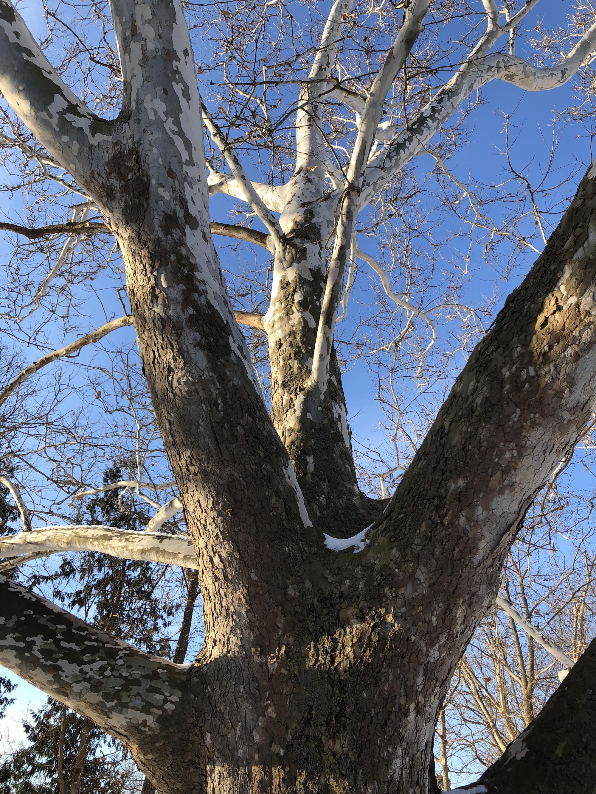 Sycamore tree between Ho-Nee-Um Pond and Arbor Drive on north shore of Lake Wingra on March 7, 2018.