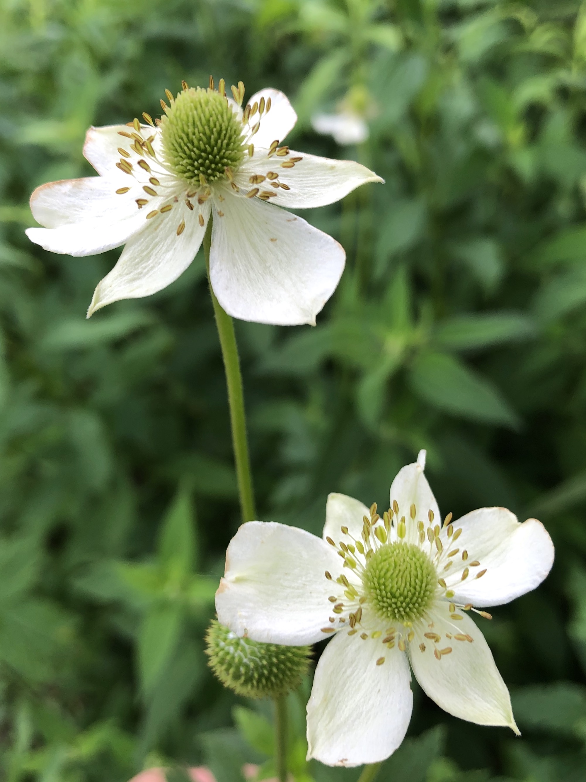 Thimbleweed in U.W. Arboretum's Native Gardens on June 30, 2020.
