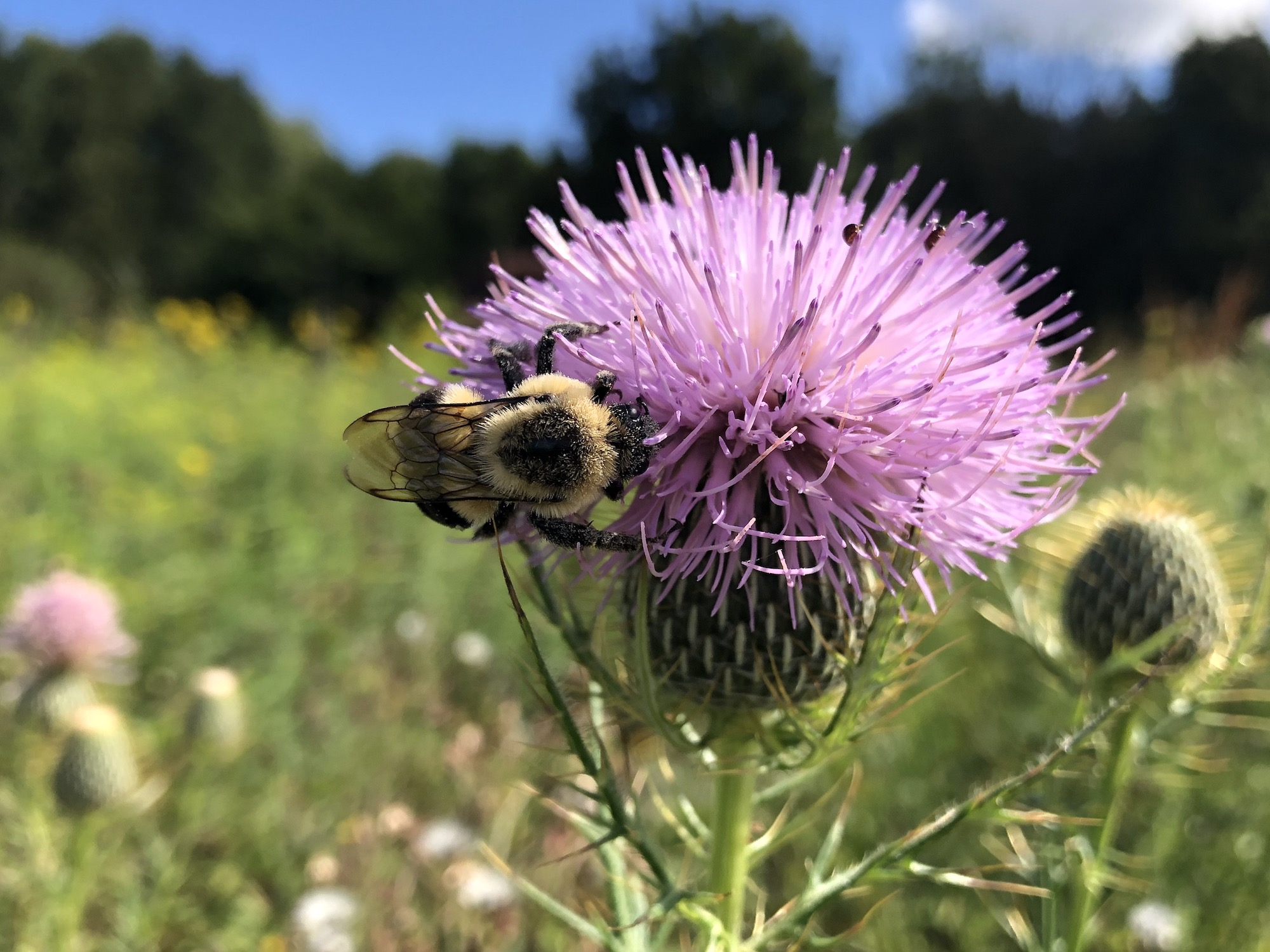 Bee on thistle on August 18, 2020.