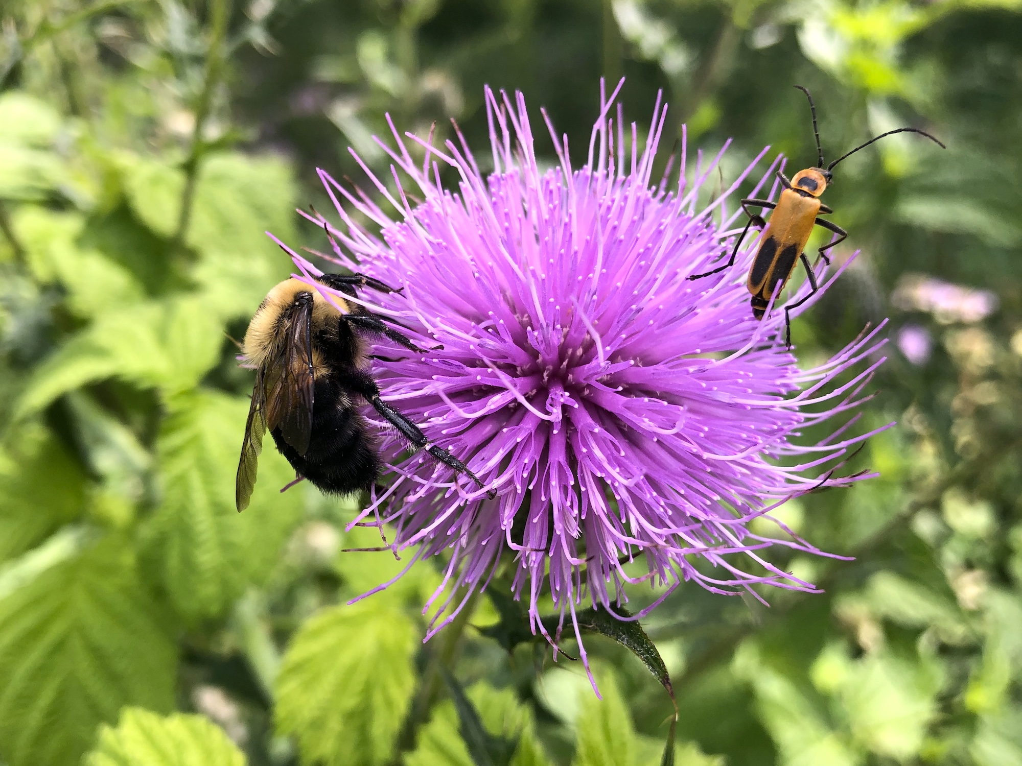 Bumblebee on Thistle on August 4, 2020.