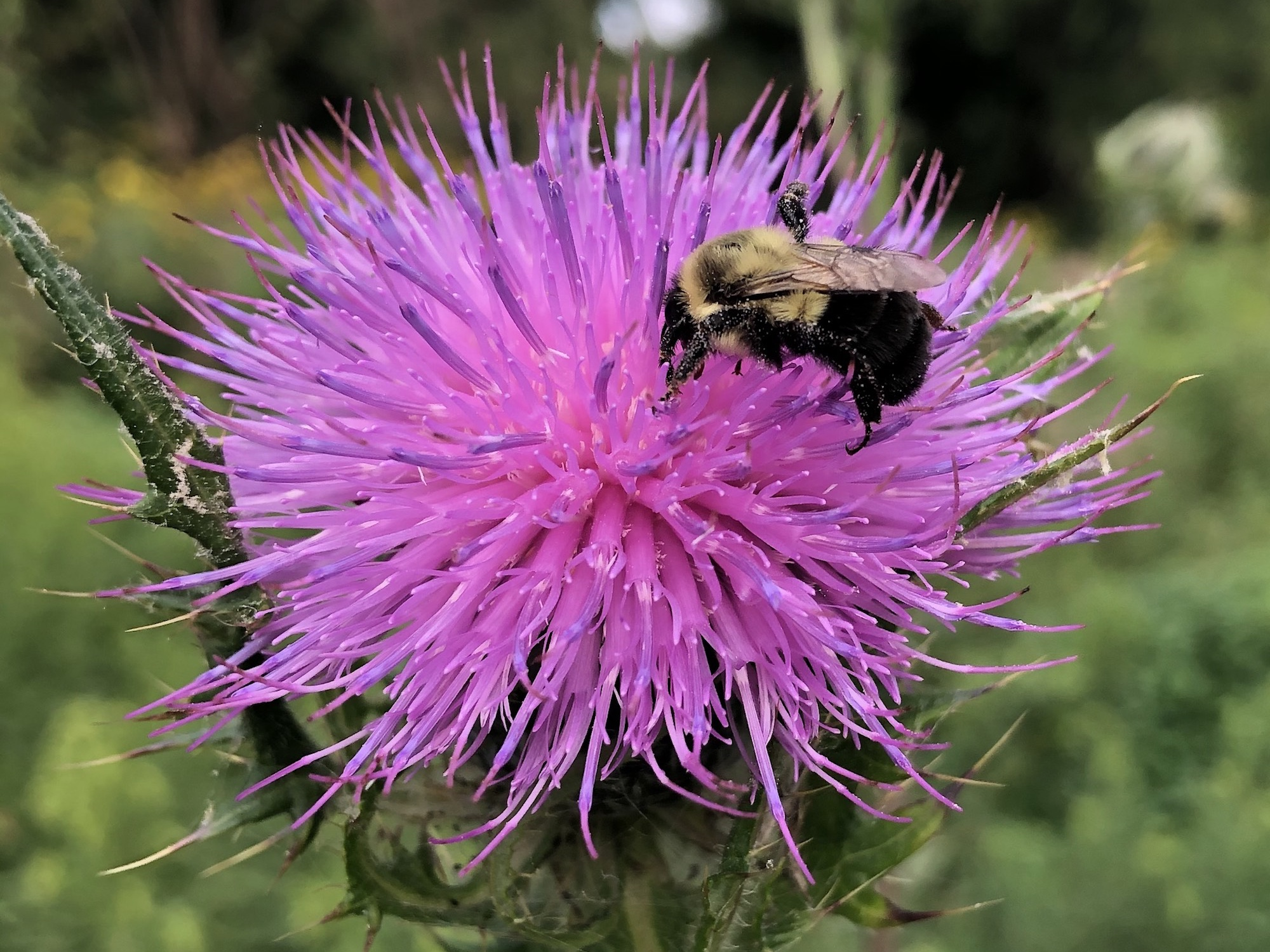 Bumblebee on Thistle on August 6, 2020.