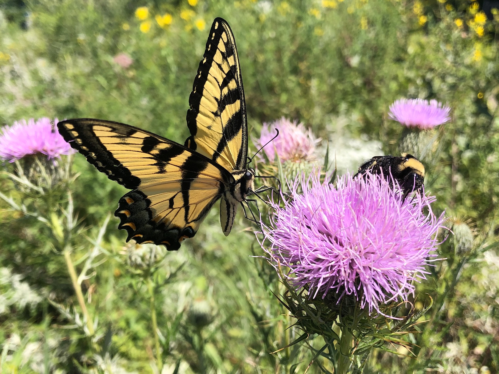 Tiger Swallowtail and bumblebee on Thistle on August 16, 2020.