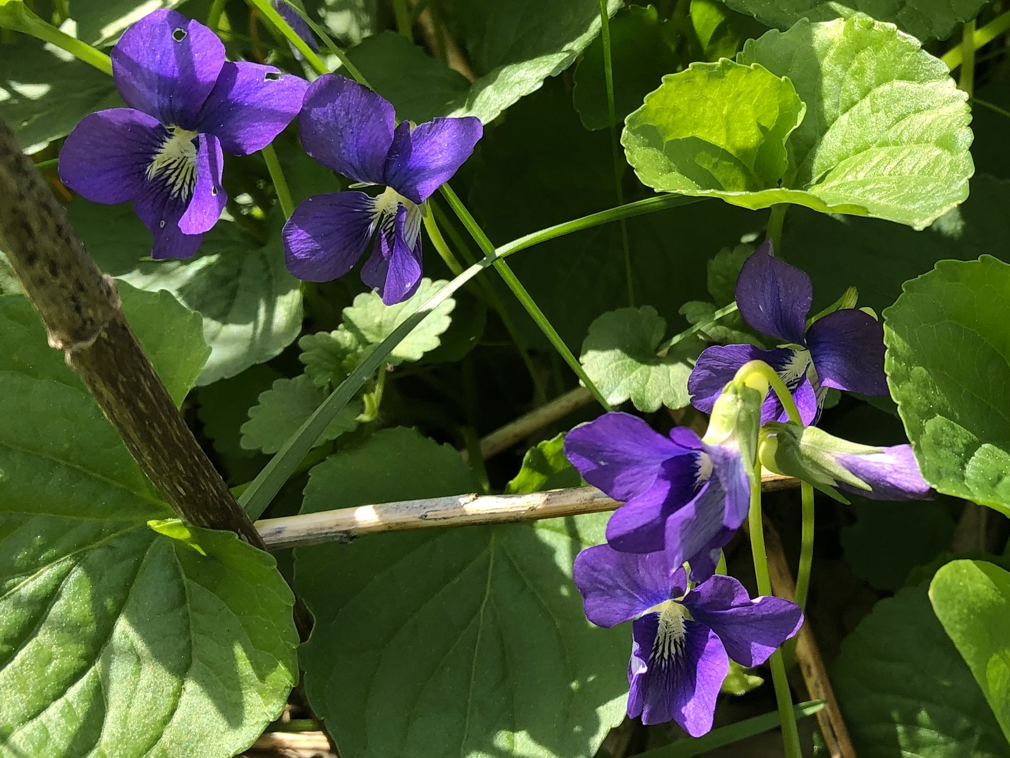 Wood Violets near Council Ring, the Oak Savanna and the Duck Pond on May 7, 2019.
