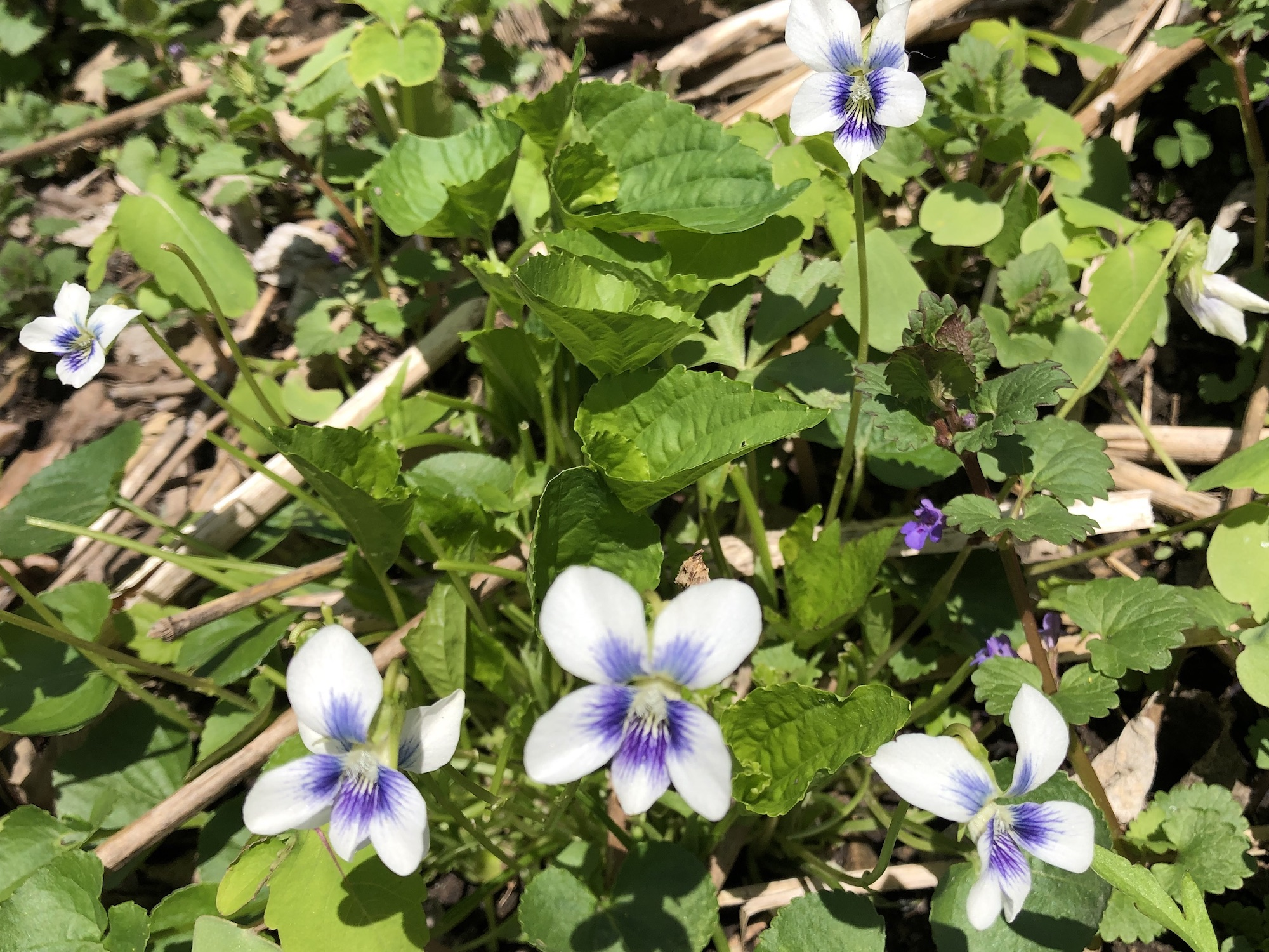 Wood Violets near the Duck Pond on May 5, 2019.