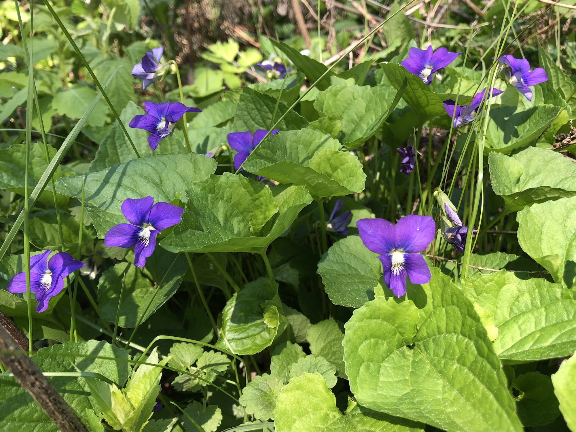 Wood Violets near the Duck Pond on May 14, 2019.