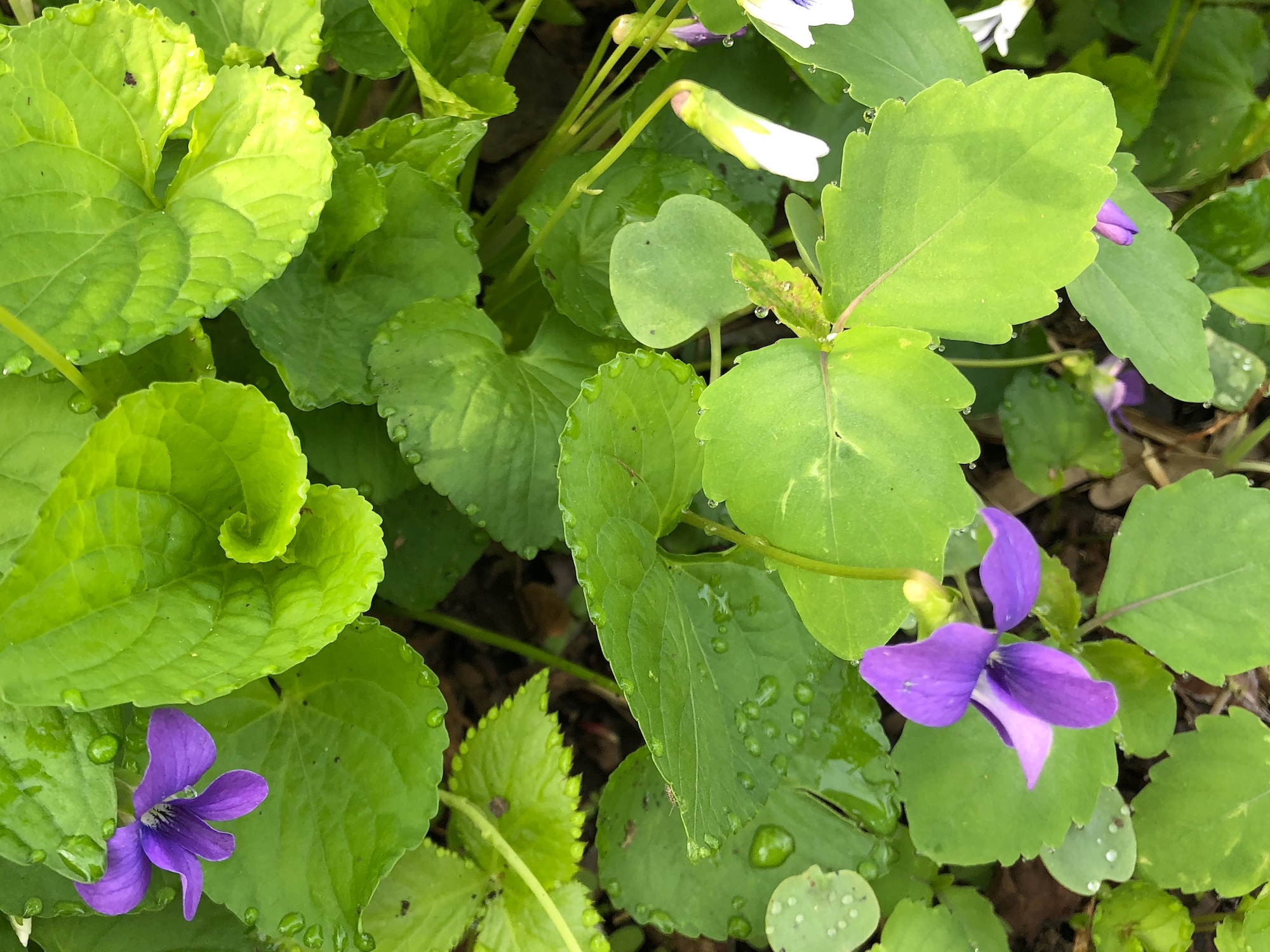 Wood Violets near the Duck Pond on May 15, 2018.