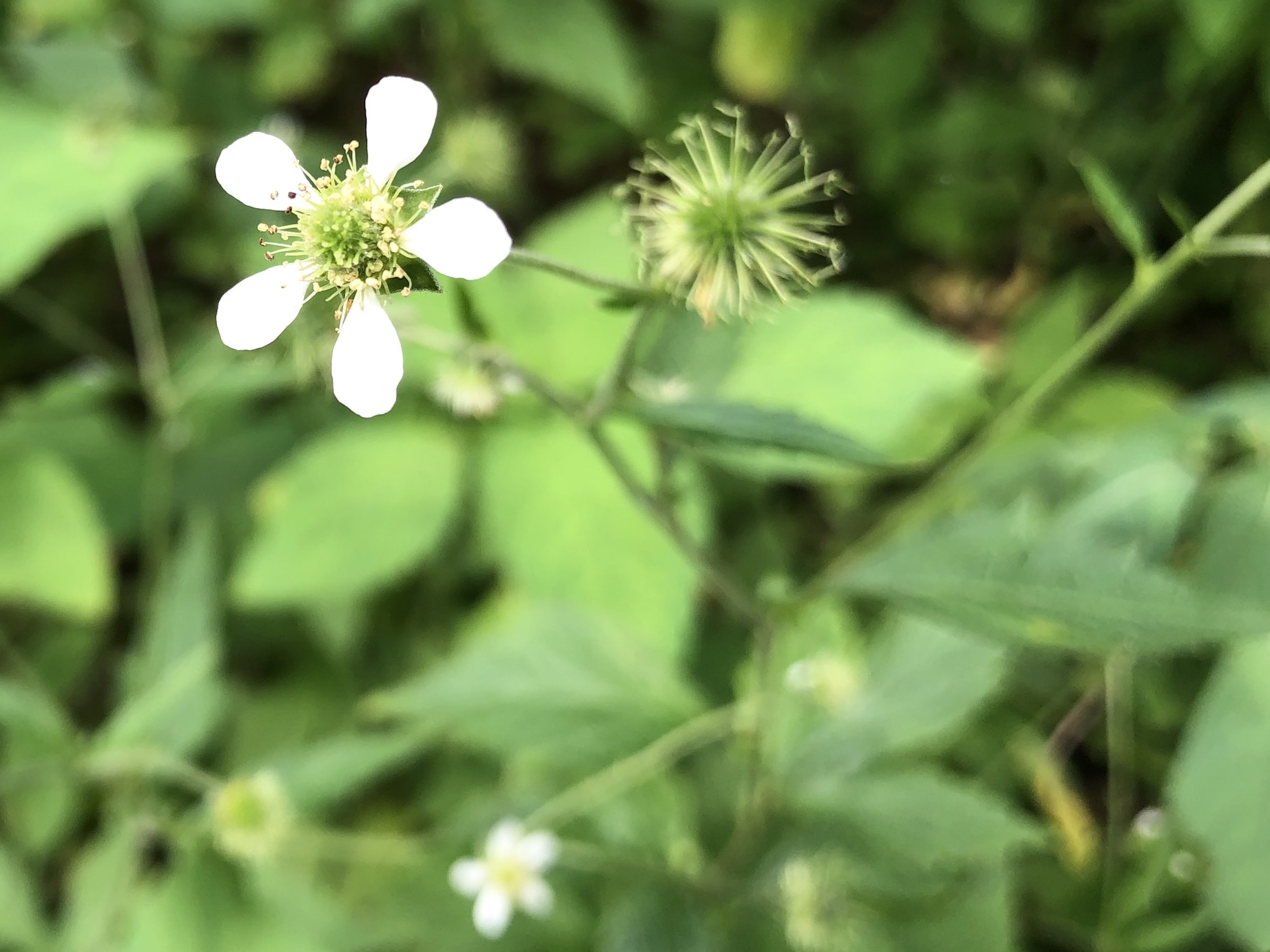 White Avens in Oak Savanna in Madison, Wisconsin on July 5, 2019.