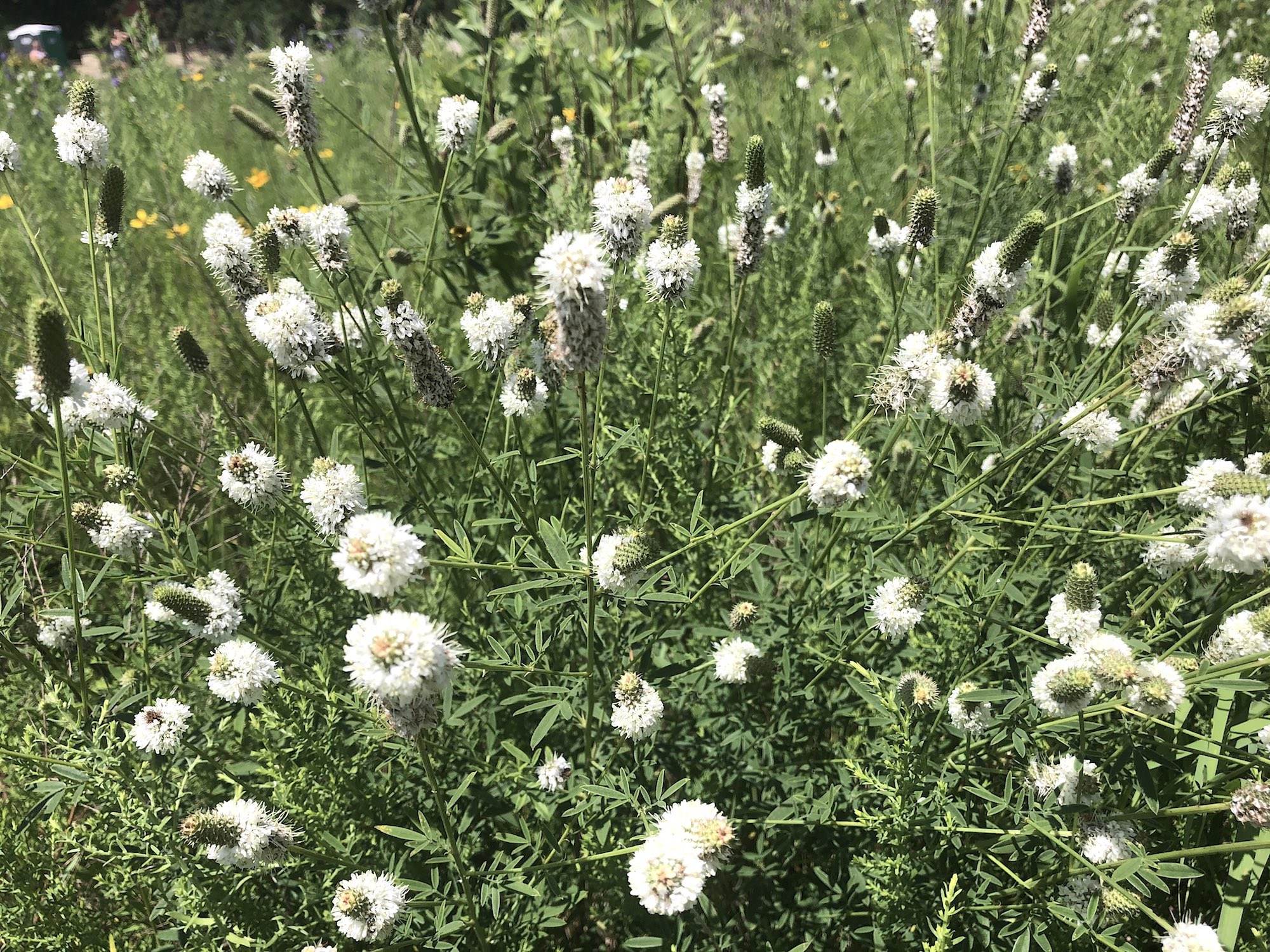 White Prairie Clover next to the UW Arboretum Visitors Center parking lot on July 10, 2020.