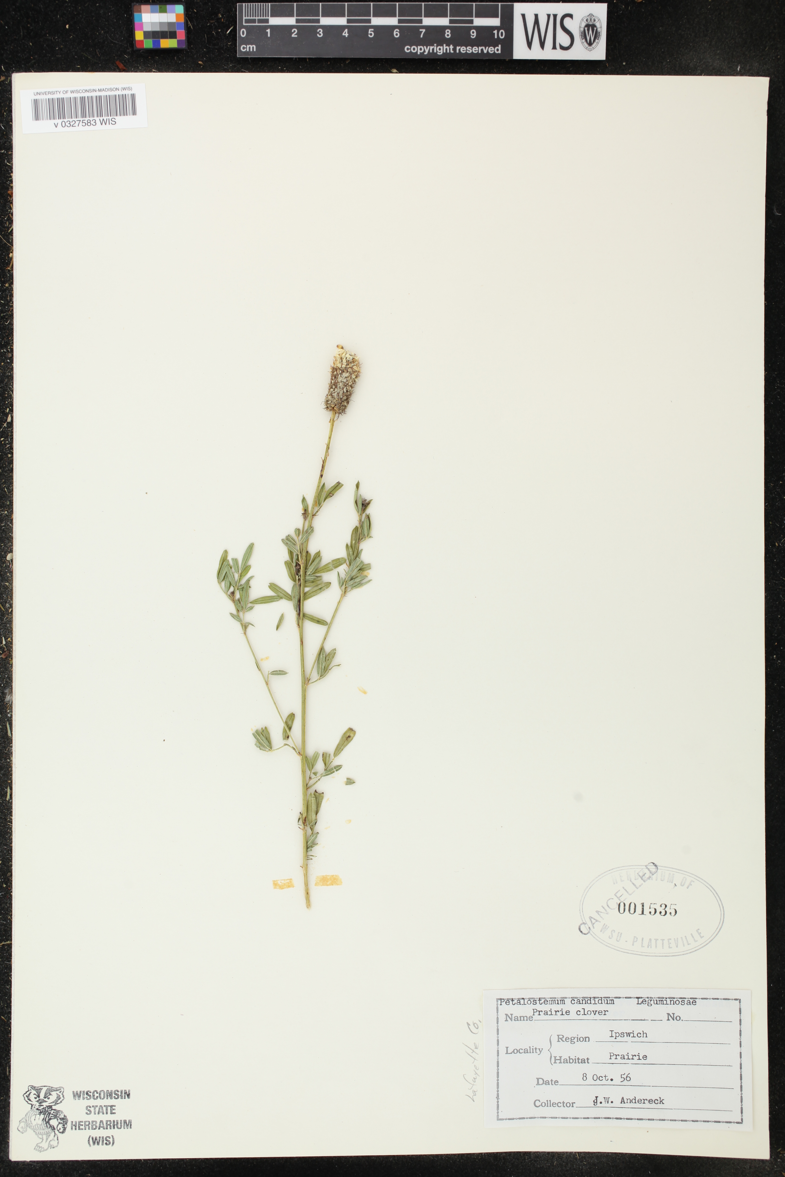 White Prairie Clover specimen collected near Platteville, Wisconsin on October 8, 1956.