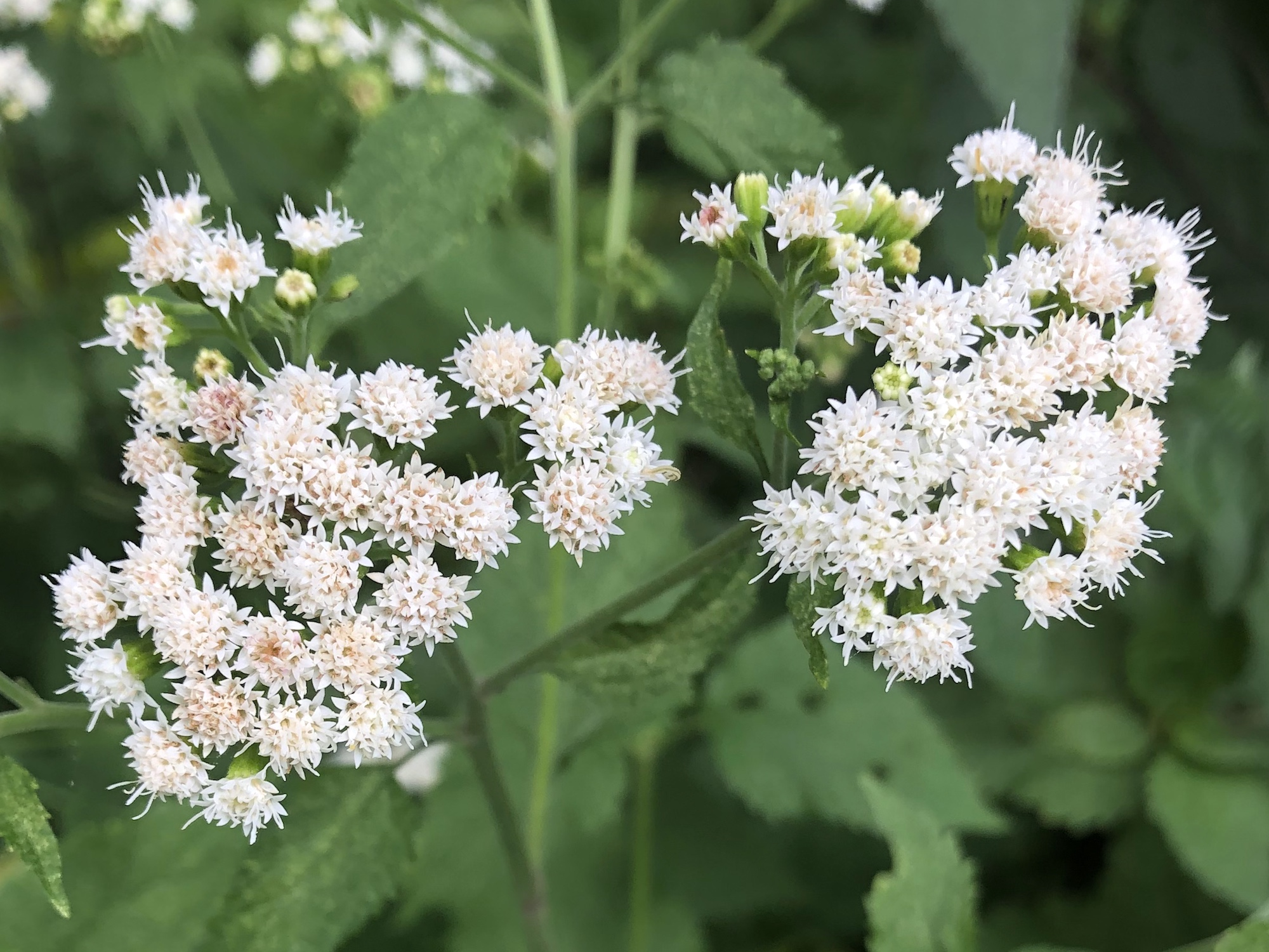 White Snakeroot along shore of Ho-Nee-Um Pond in Madison, Wisconsin on August 21, 2019.