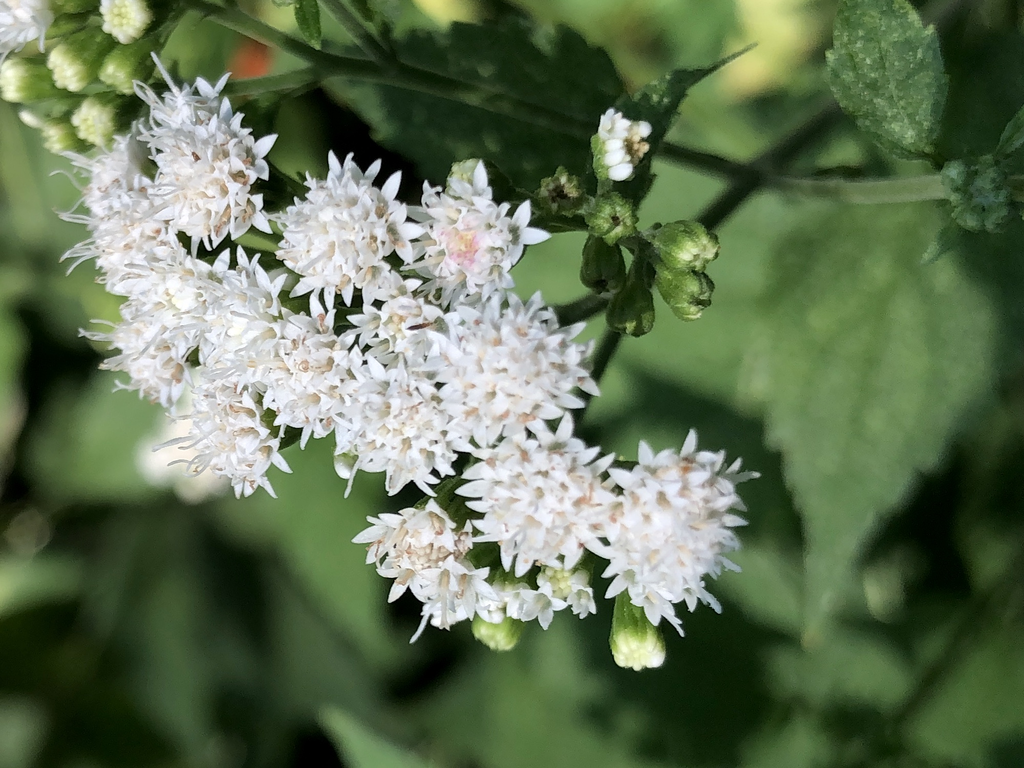 White Snakeroot along shore of Ho-Nee-Um Pond in Madison, Wisconsin on August 22, 2019.