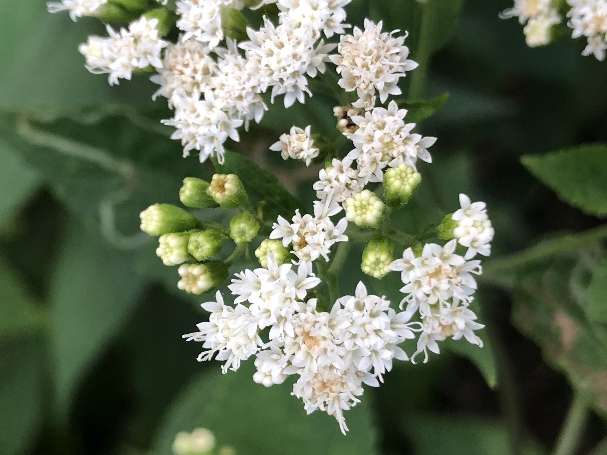 White Snakeroot along shore of Ho-Nee-Um Pond in Madison, Wisconsin on September 1, 2019.