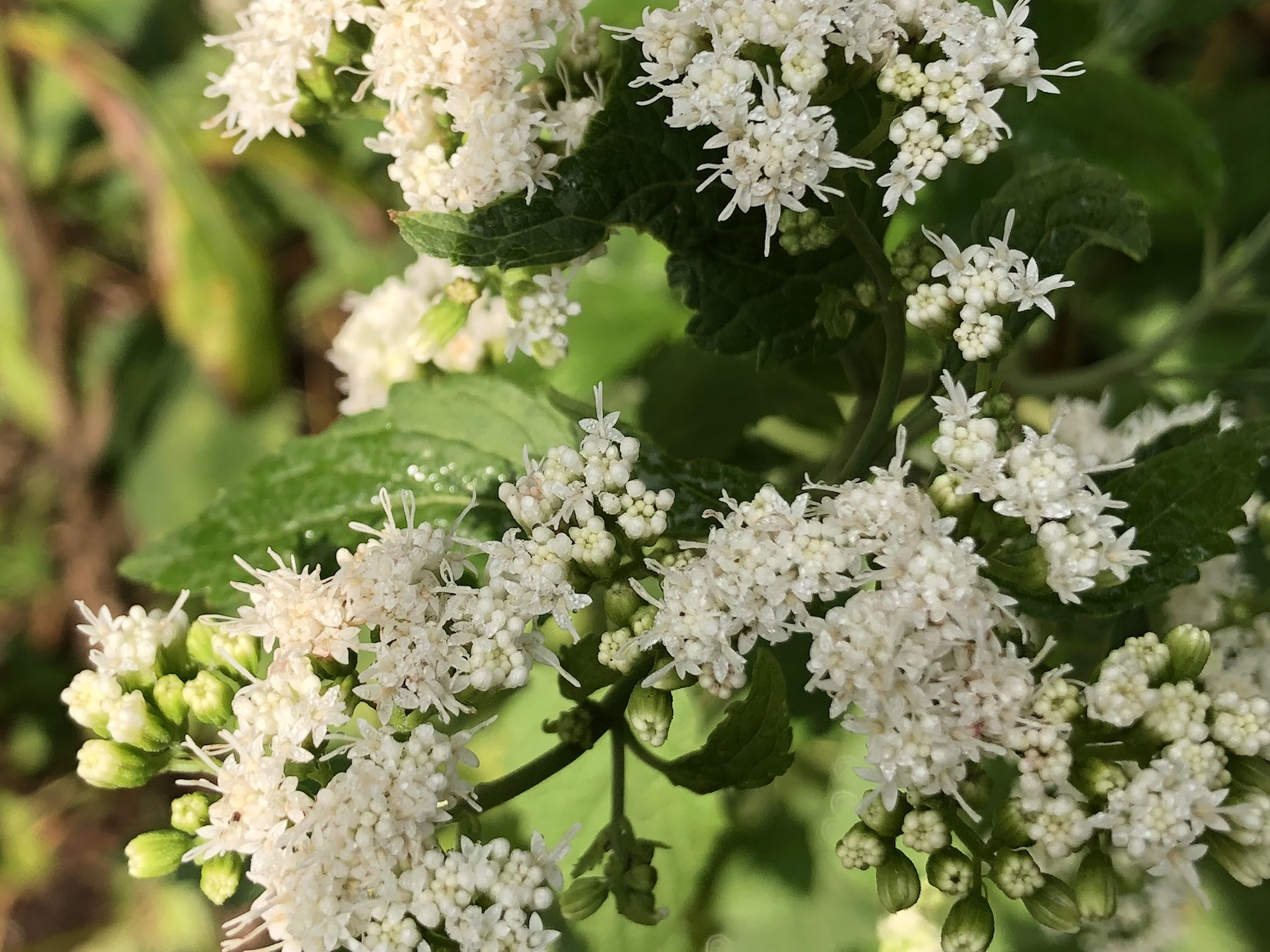 White Snakeroot by Agawa Path in Madison, Wisconsin on September 13, 2020.