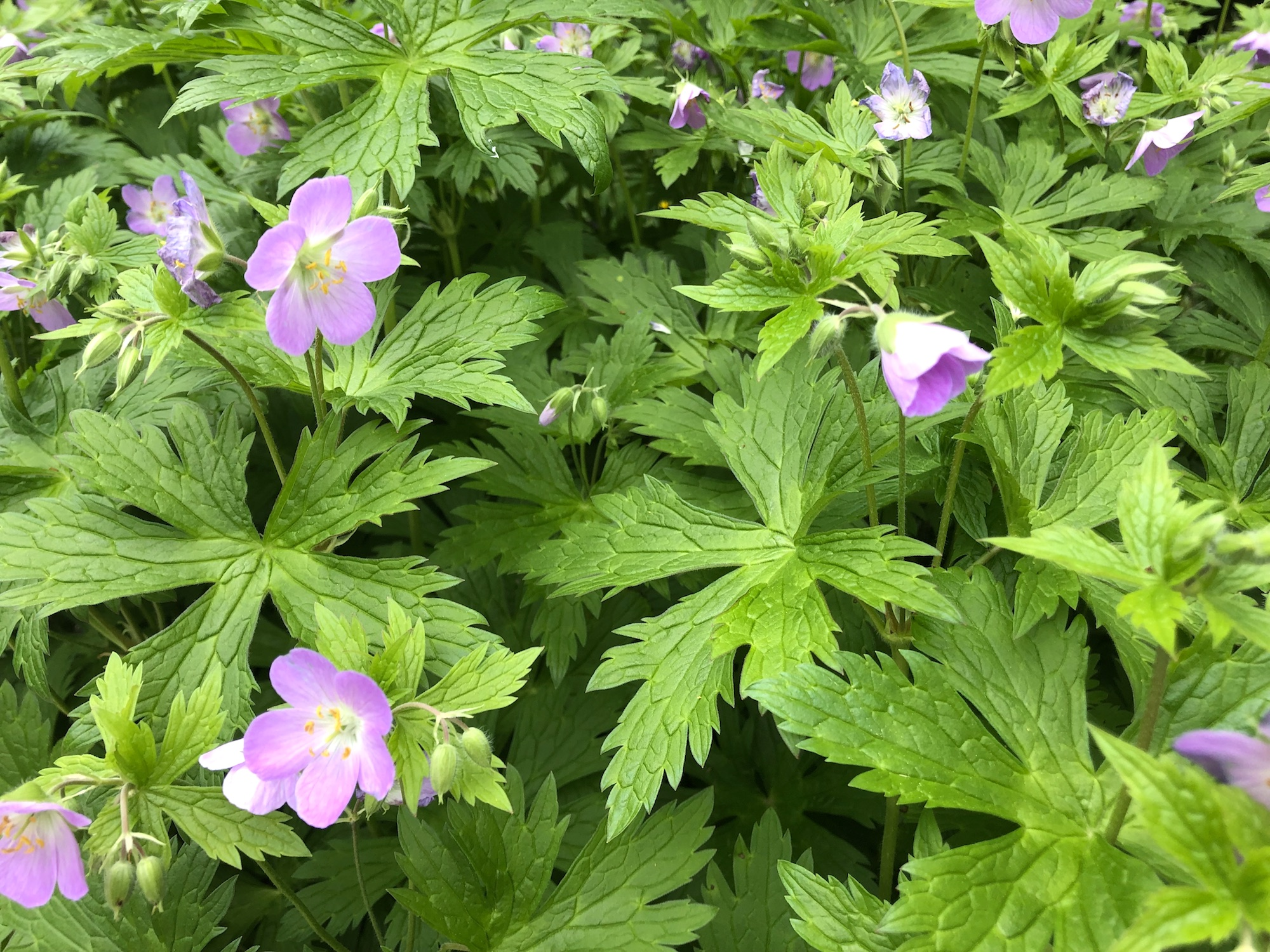 Wild Geranium in the Oak Savanna near Council Ring on May 17, 2019.