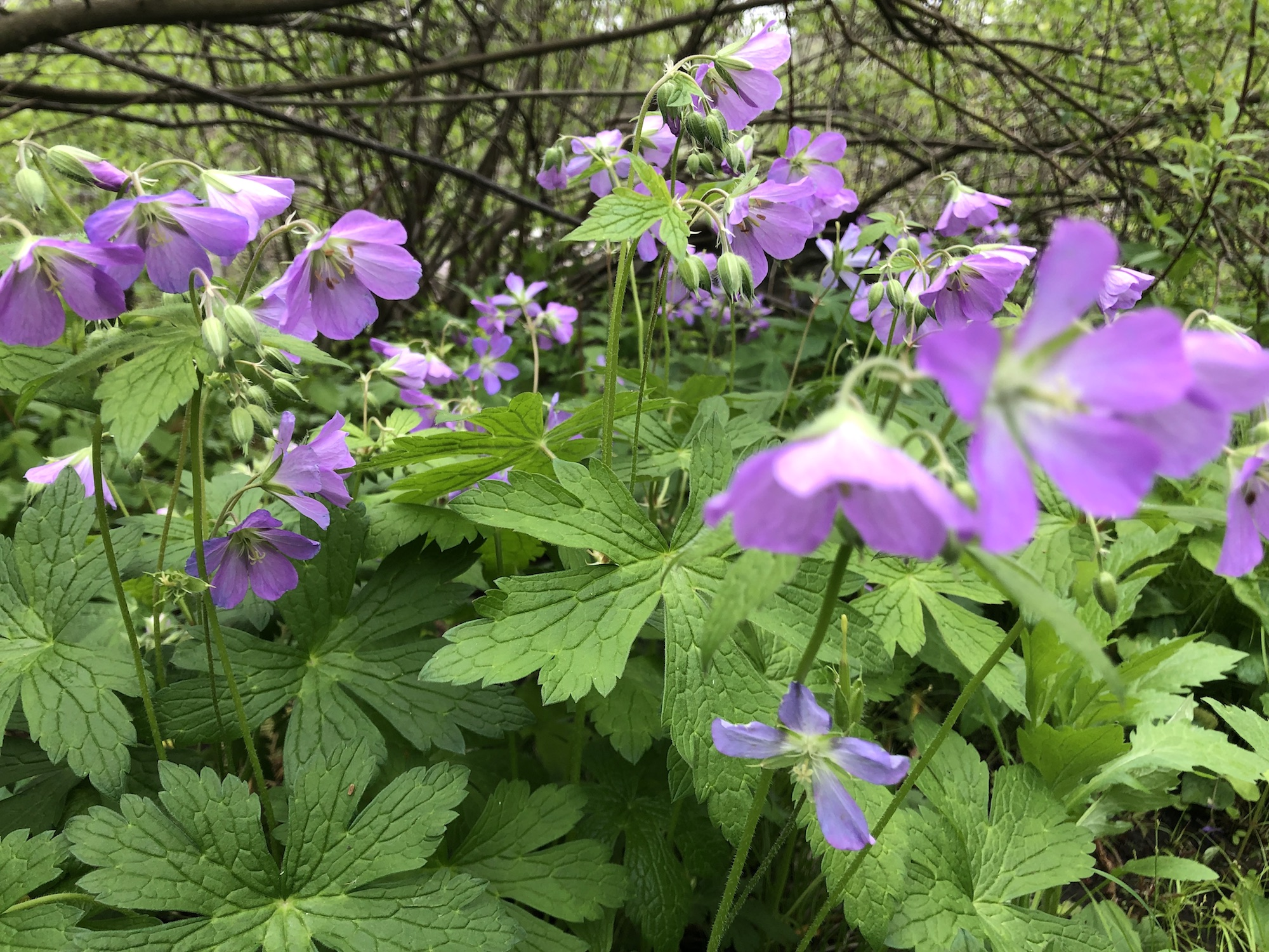 Wild Geranium in the Oak Savanna near Council Ring on May 20, 2019.