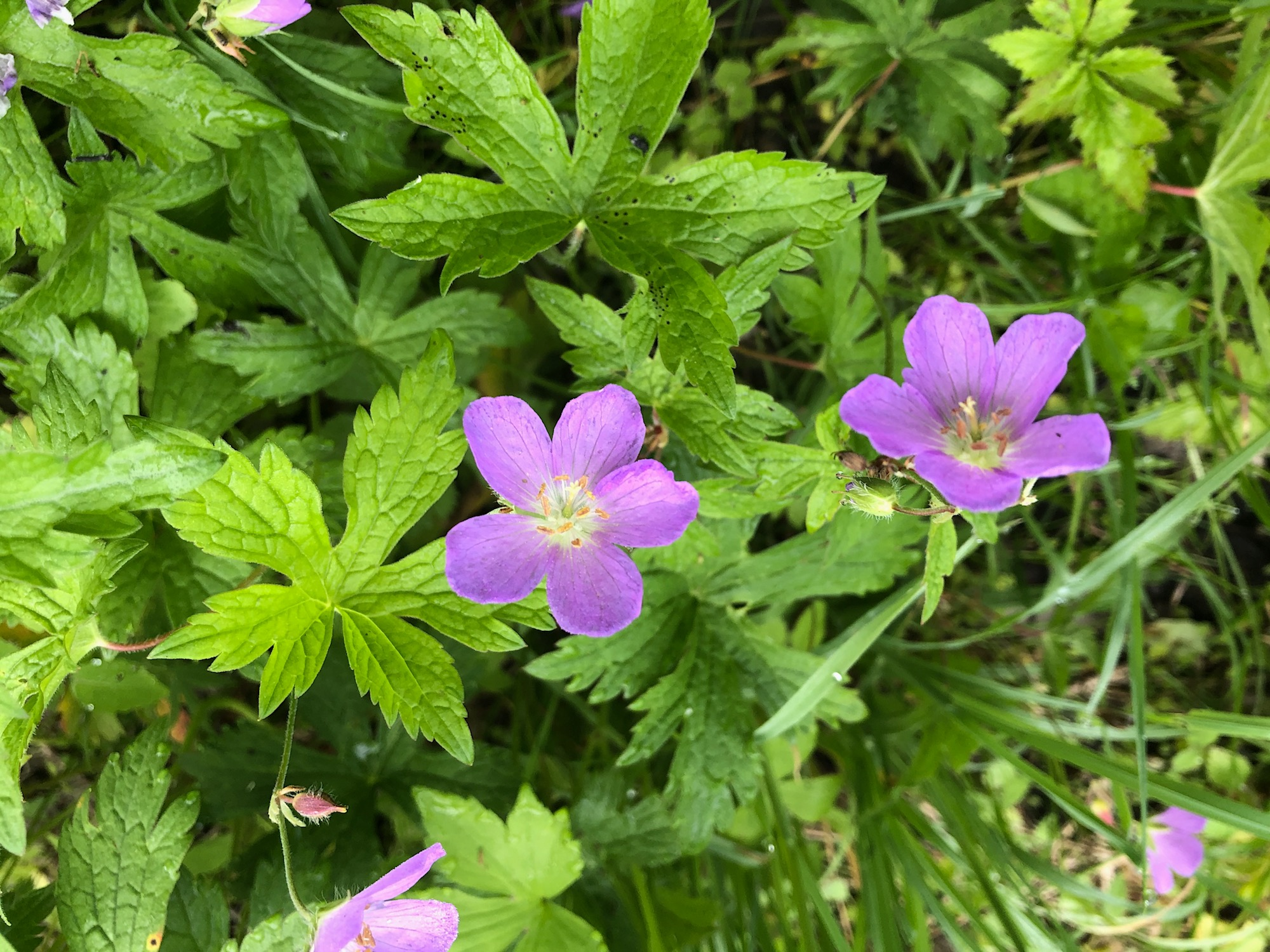 Wild Geranium by Ho-Nee-Um boardwalk in Oak Savanna on May 25, 2020.