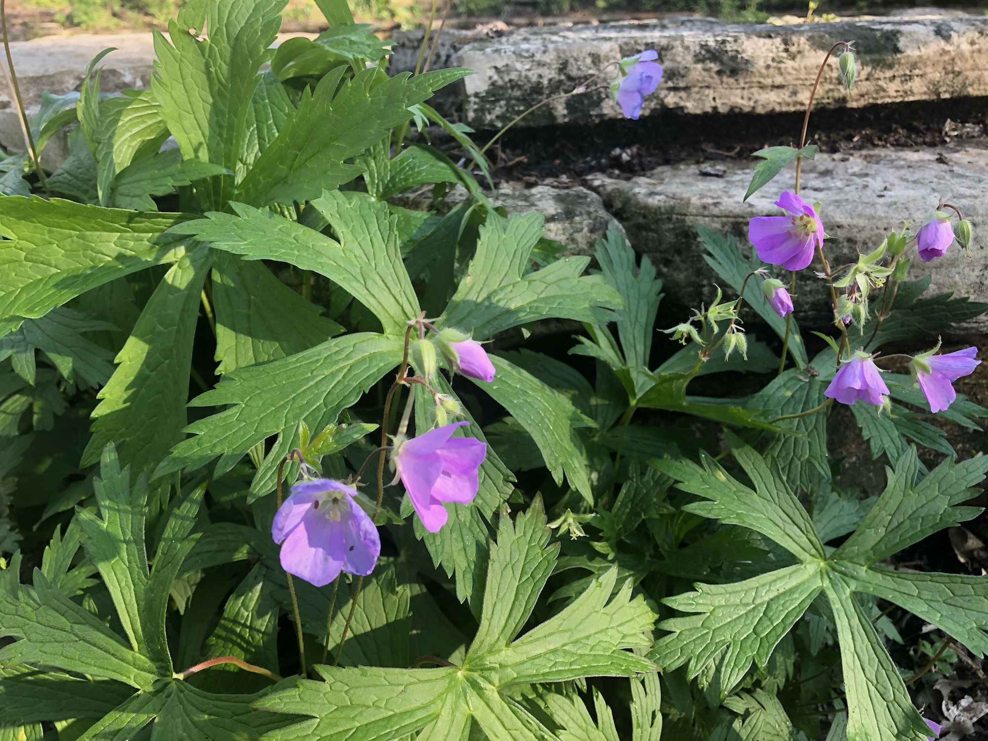 Wild Geranium by Council Ring in Oak Savanna on May 20, 2020.