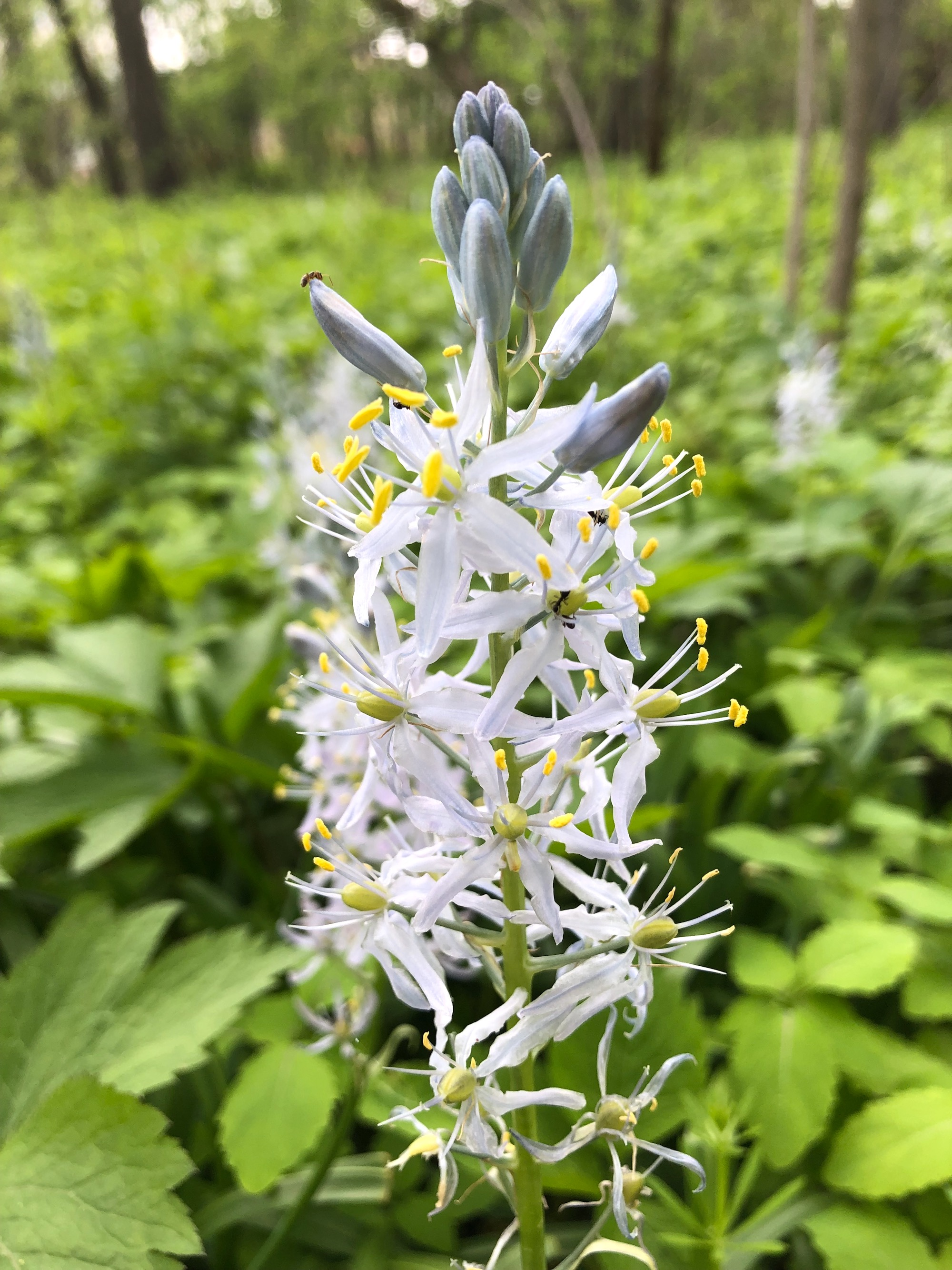 Wild Hyacinth in woods between Oak Savanna and Marion Dunn Prairie on May 20, 2019.