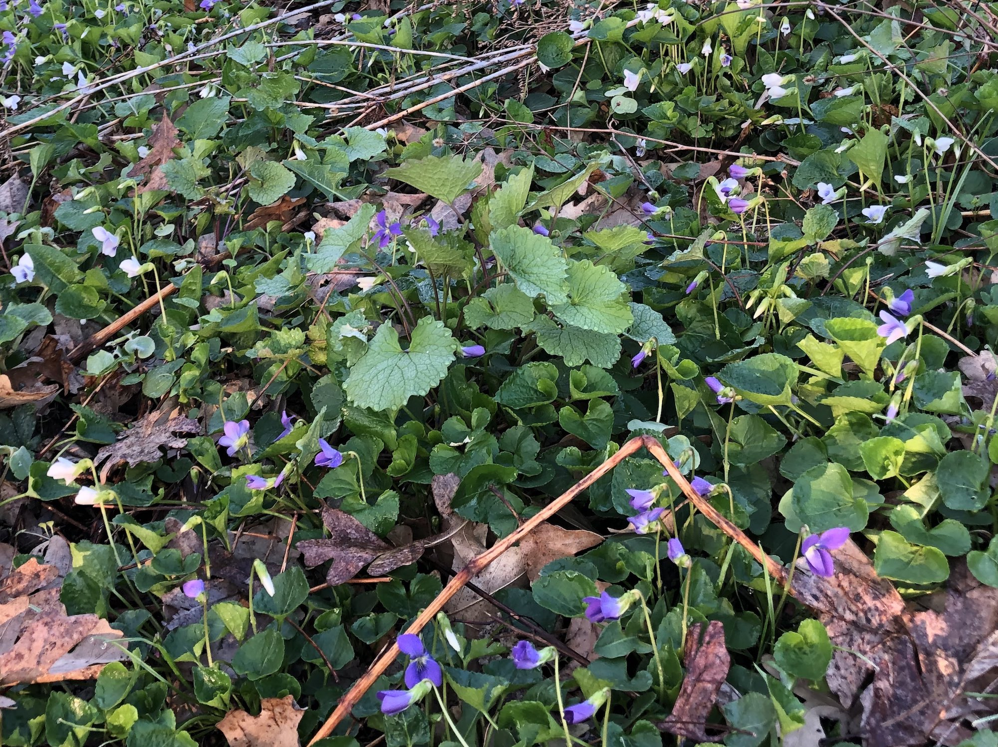 Wood Violets near Council Ring, the Oak Savanna and the Duck Pond on April 24, 2019.