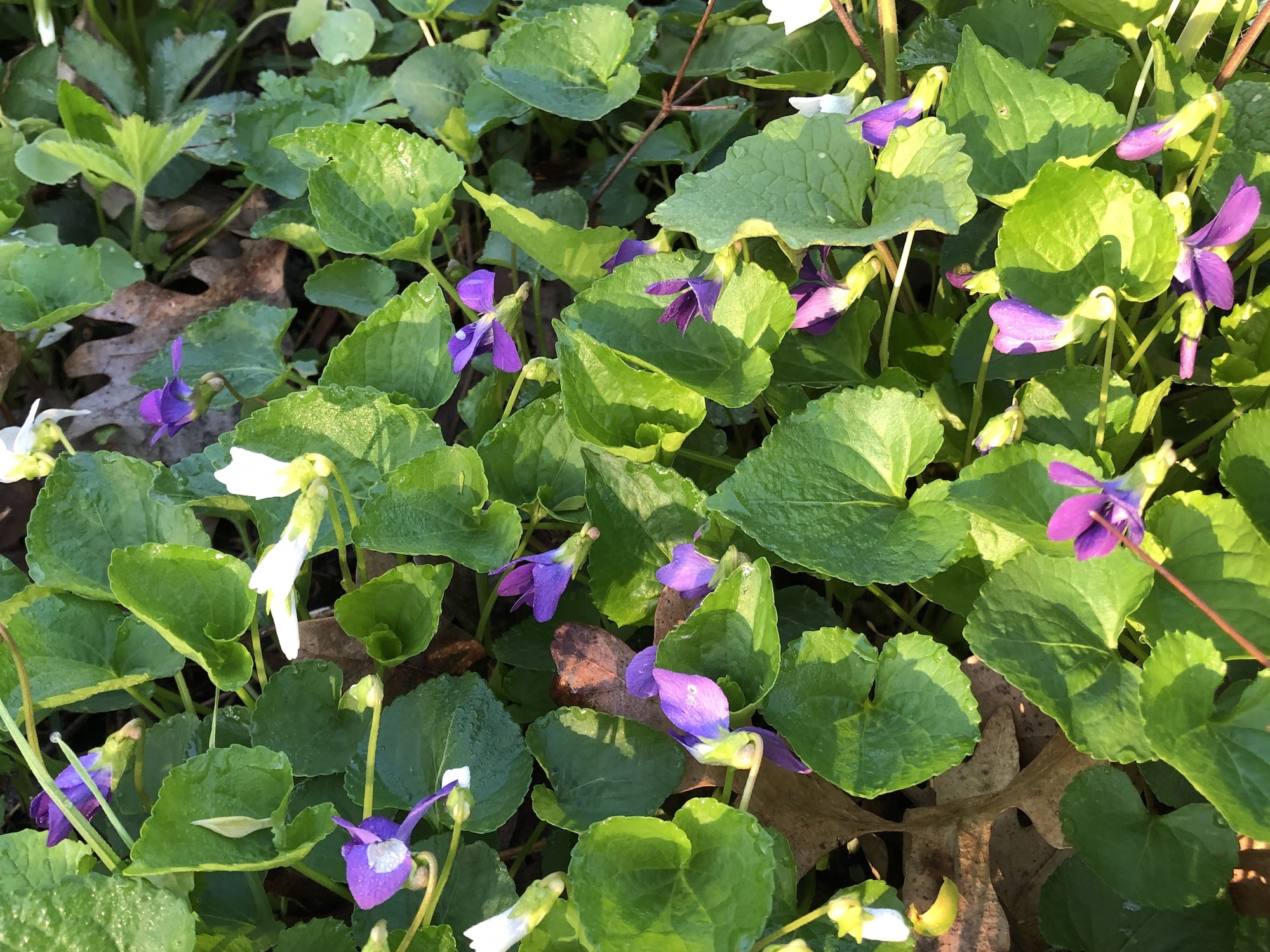 Wood Violets near Council Ring, the Oak Savanna and the Duck Pond on May 3, 2019.