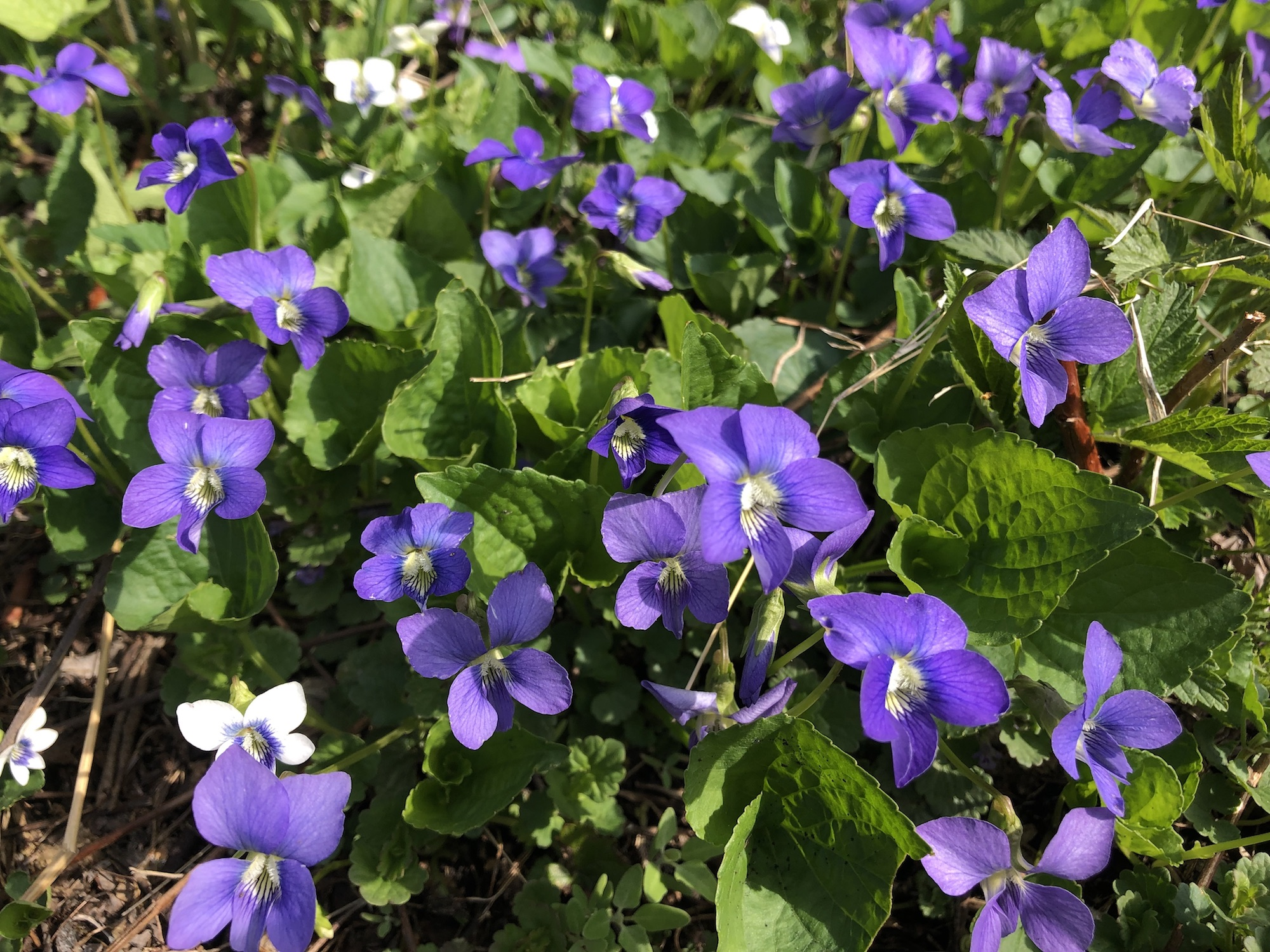 Wood Violets nearthe Duck Pond on April 25, 2019.