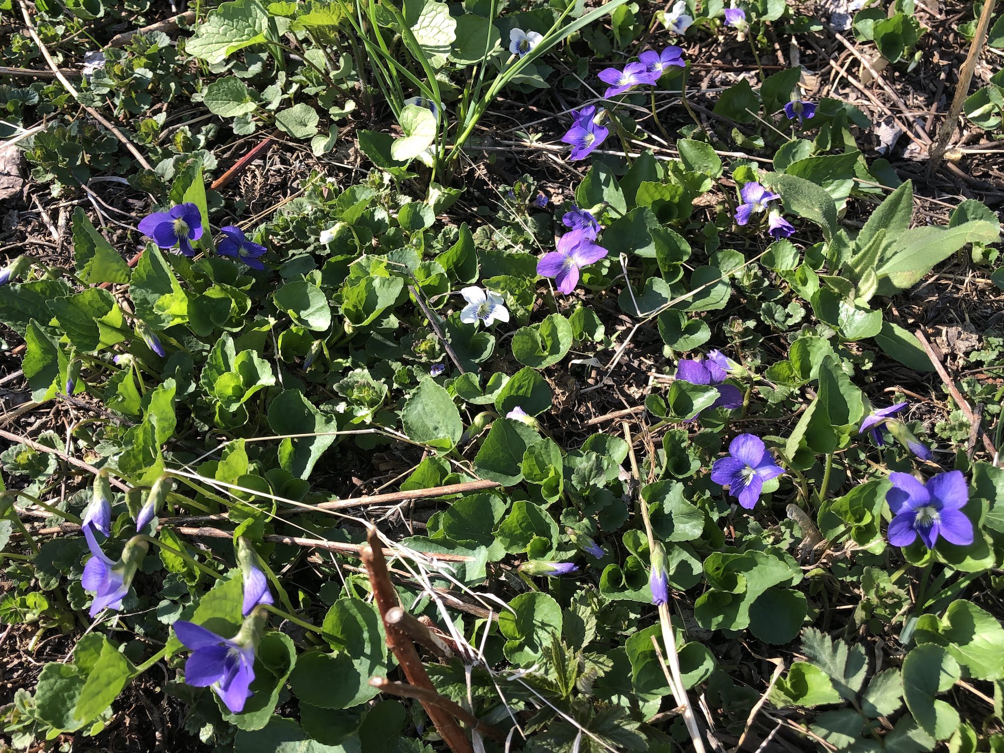 Wood Violets near Council Ring, the Oak Savanna and the Duck Pond on April 21, 2019.