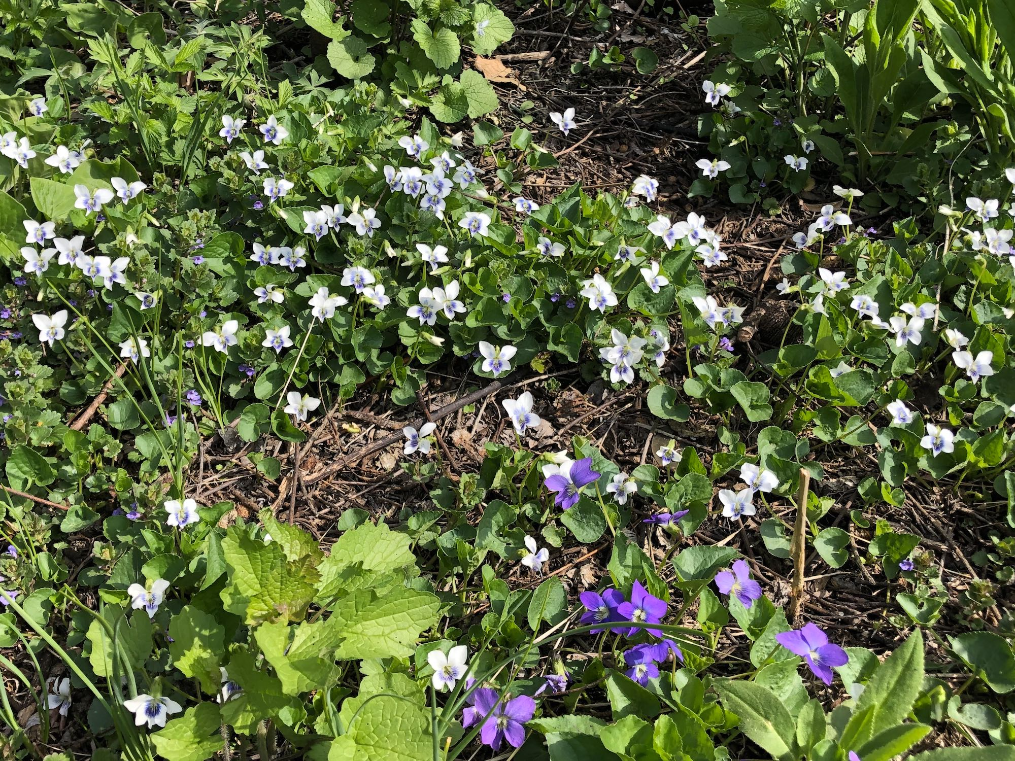 Wood Violets near the Duck Pond on April 25, 2019.