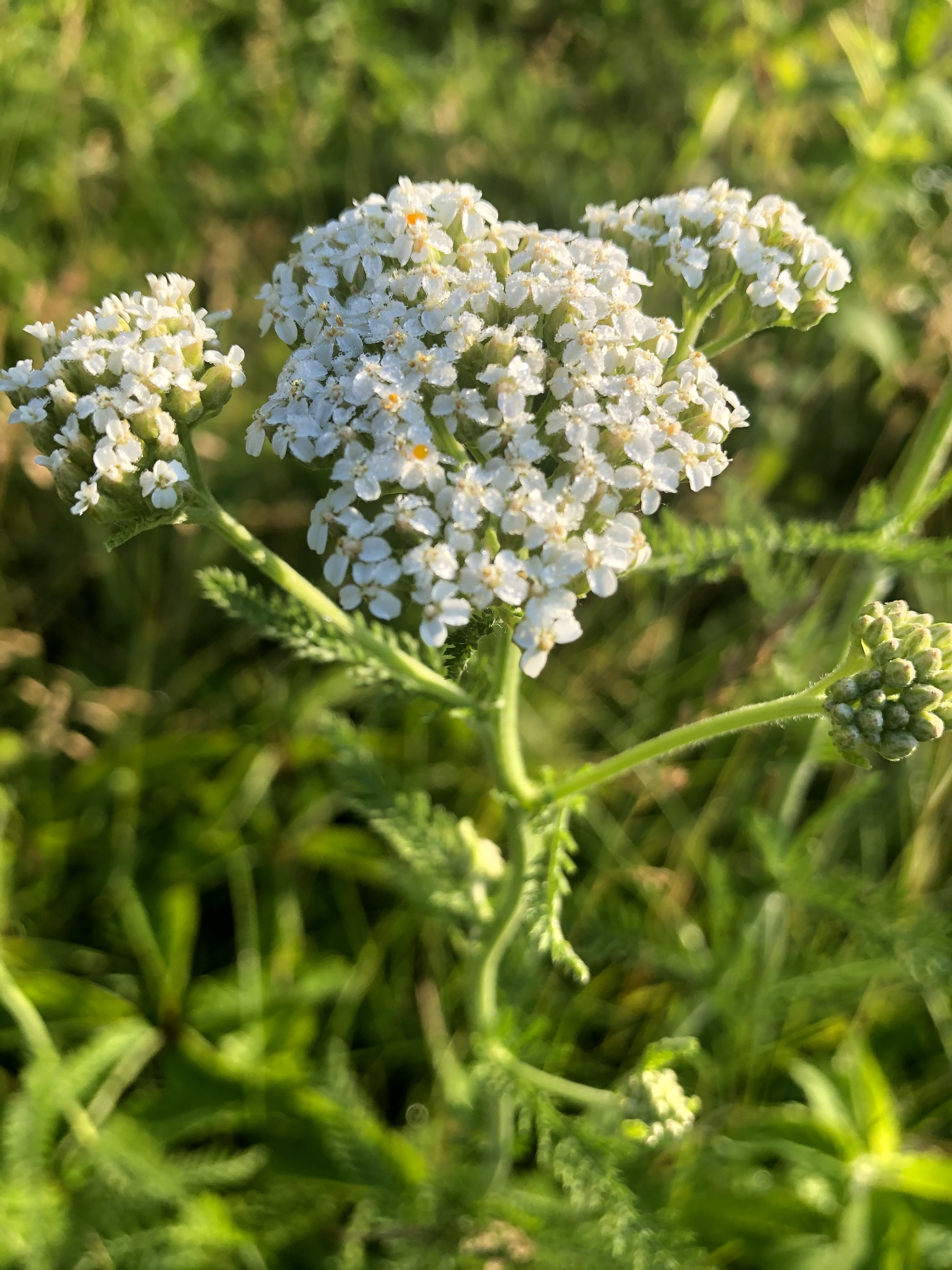 Common Yarrow on shore of Marion Dunn Pond on June 18, 2020.