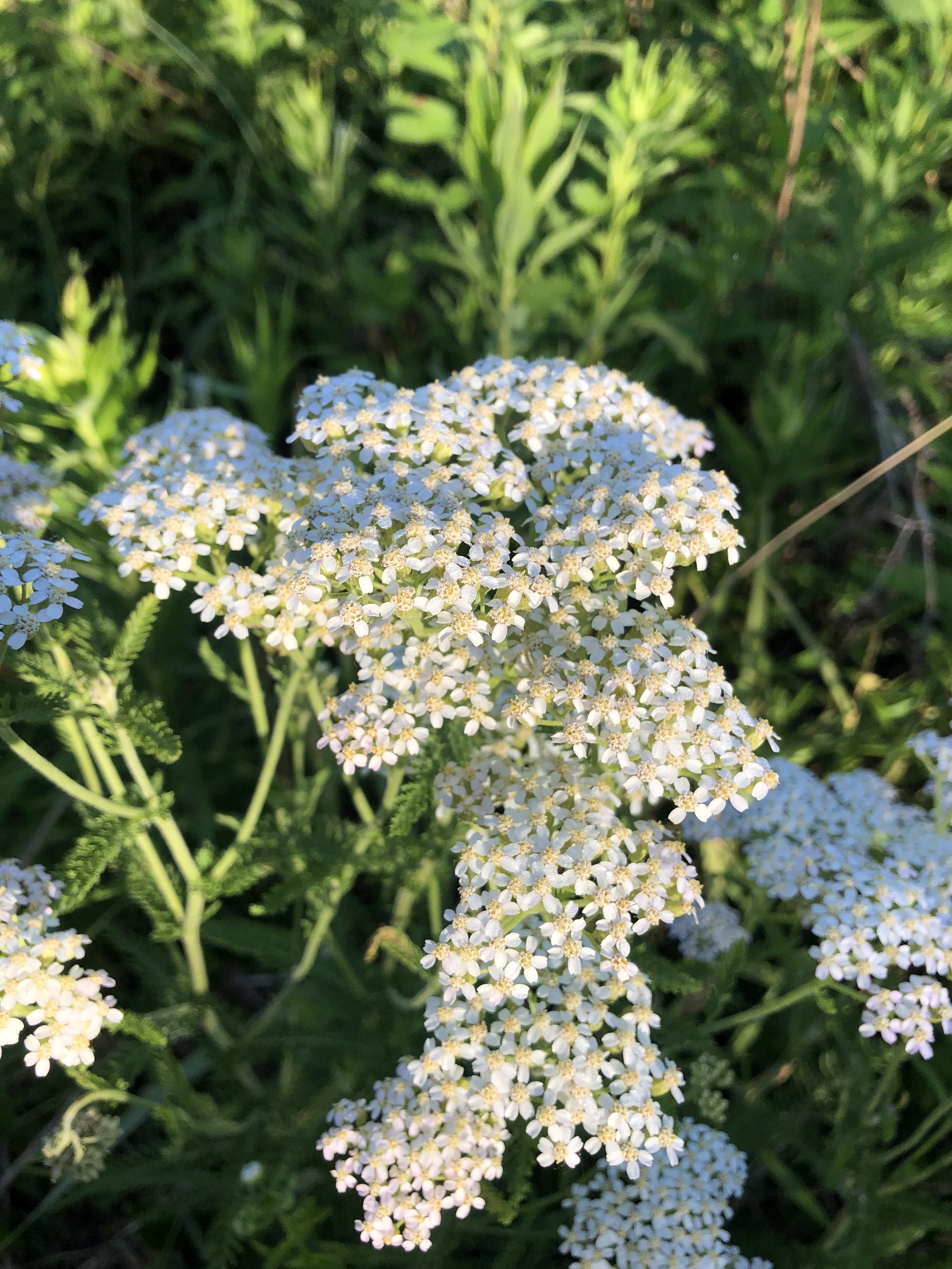Common Yarrow on shore of Marion Dunn Pond on June 16, 2020.