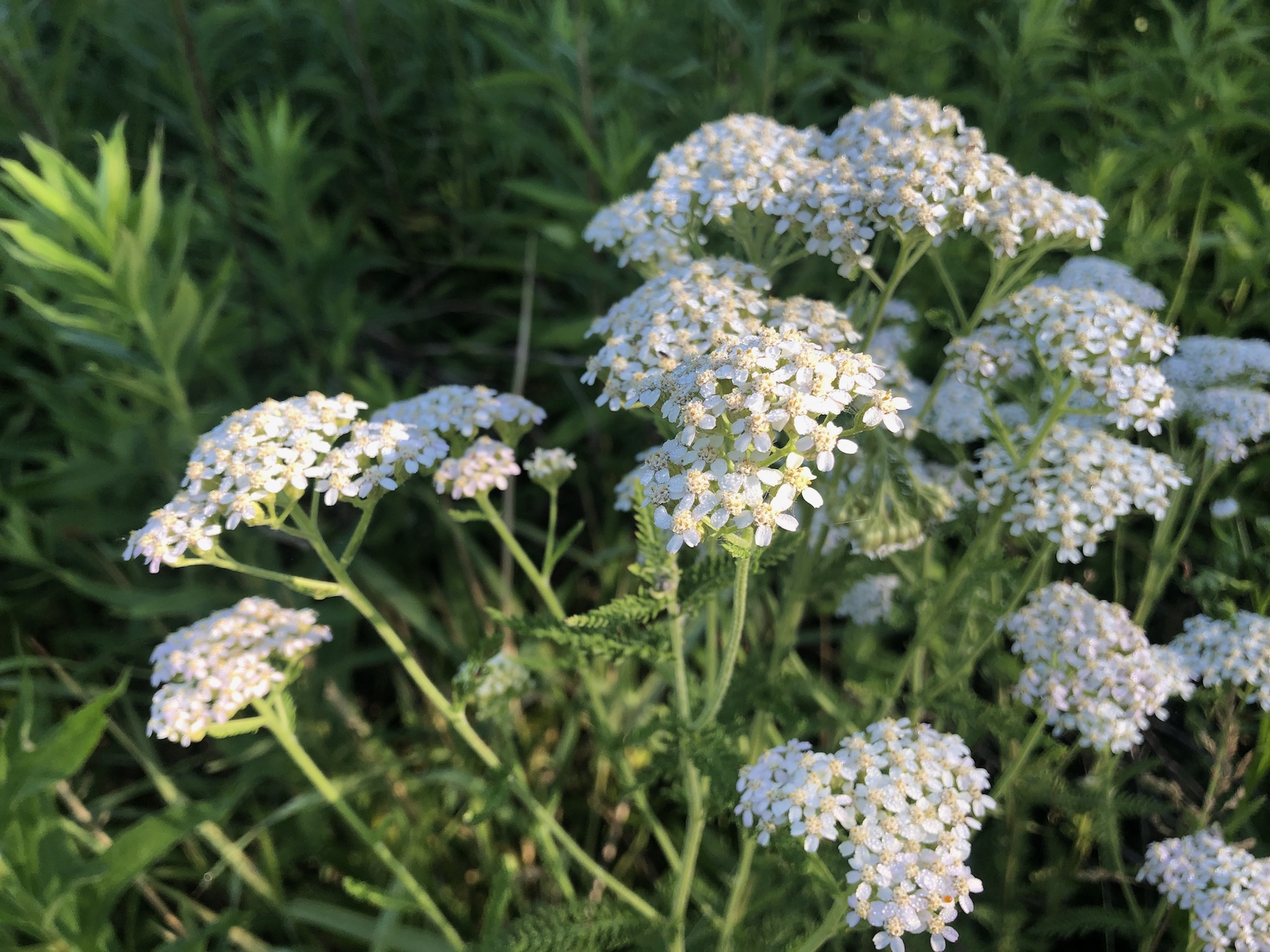 Common Yarrow on shore of Marion Dunn Pond on June 17, 2020.