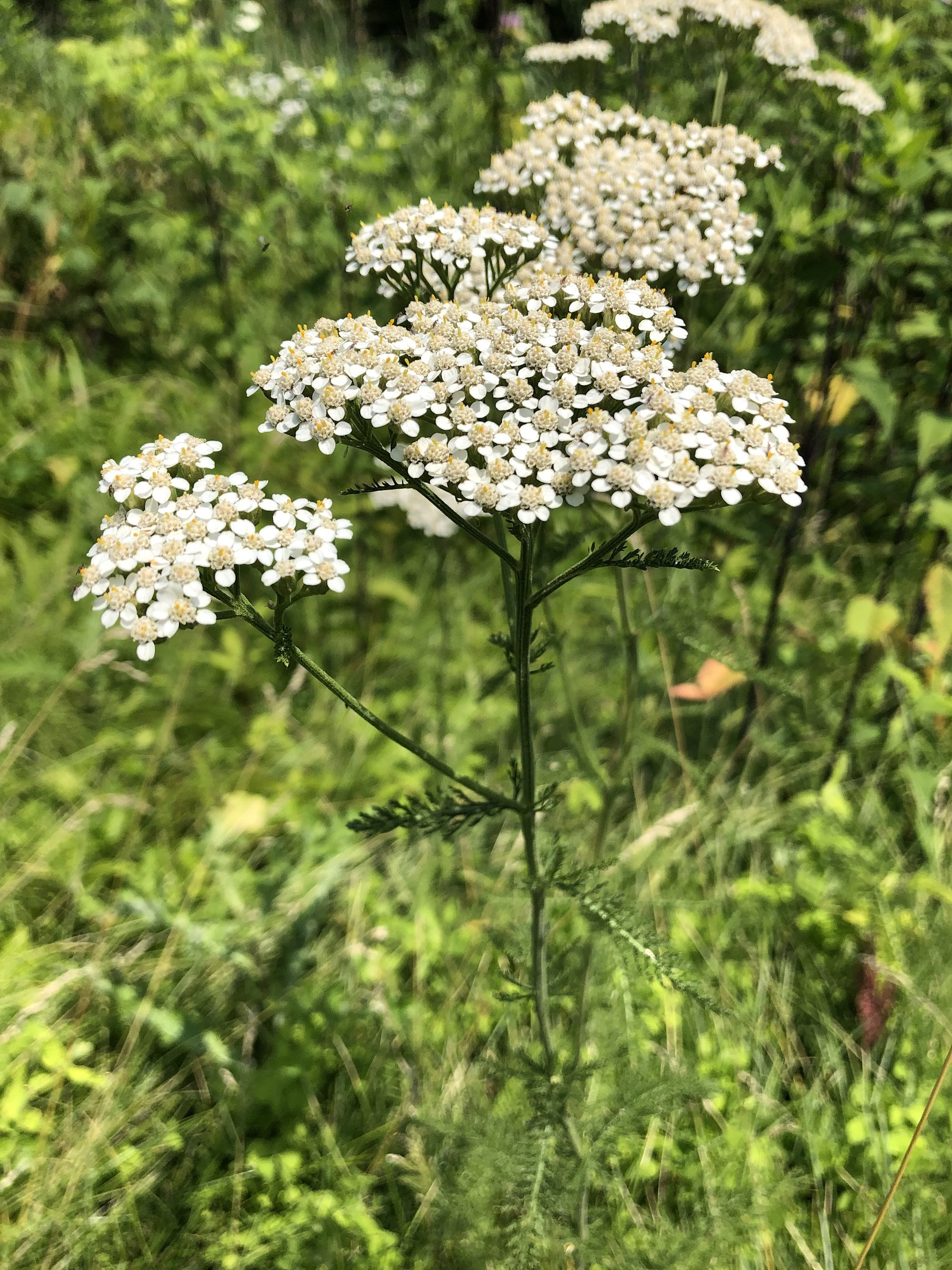Common Yarrow on shore of Marion Dunn Pond on July 8, 2019.